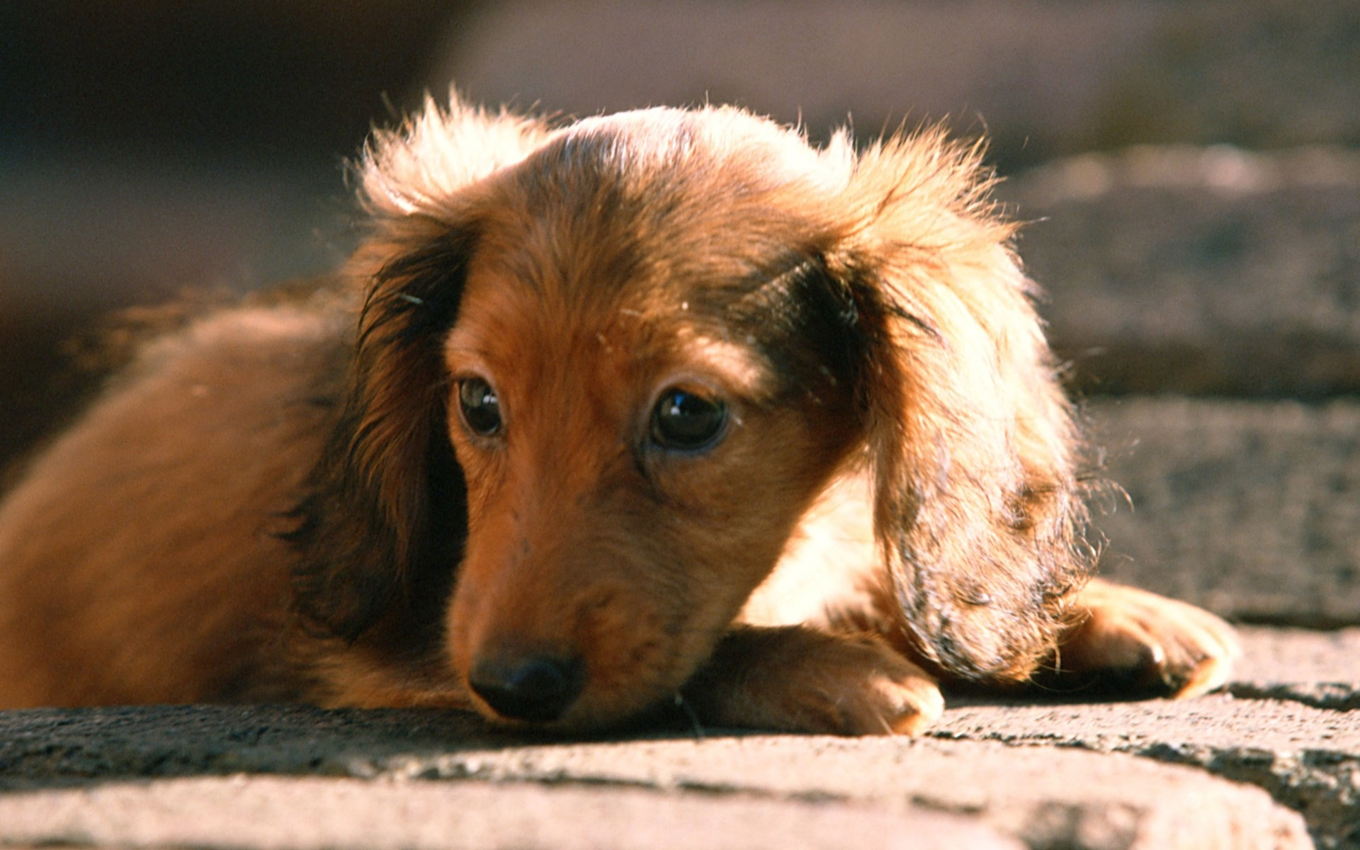 1920x1200 Dachshund Puppies Wallpapers - Puppy Dachshund  NO.13 Desktop .