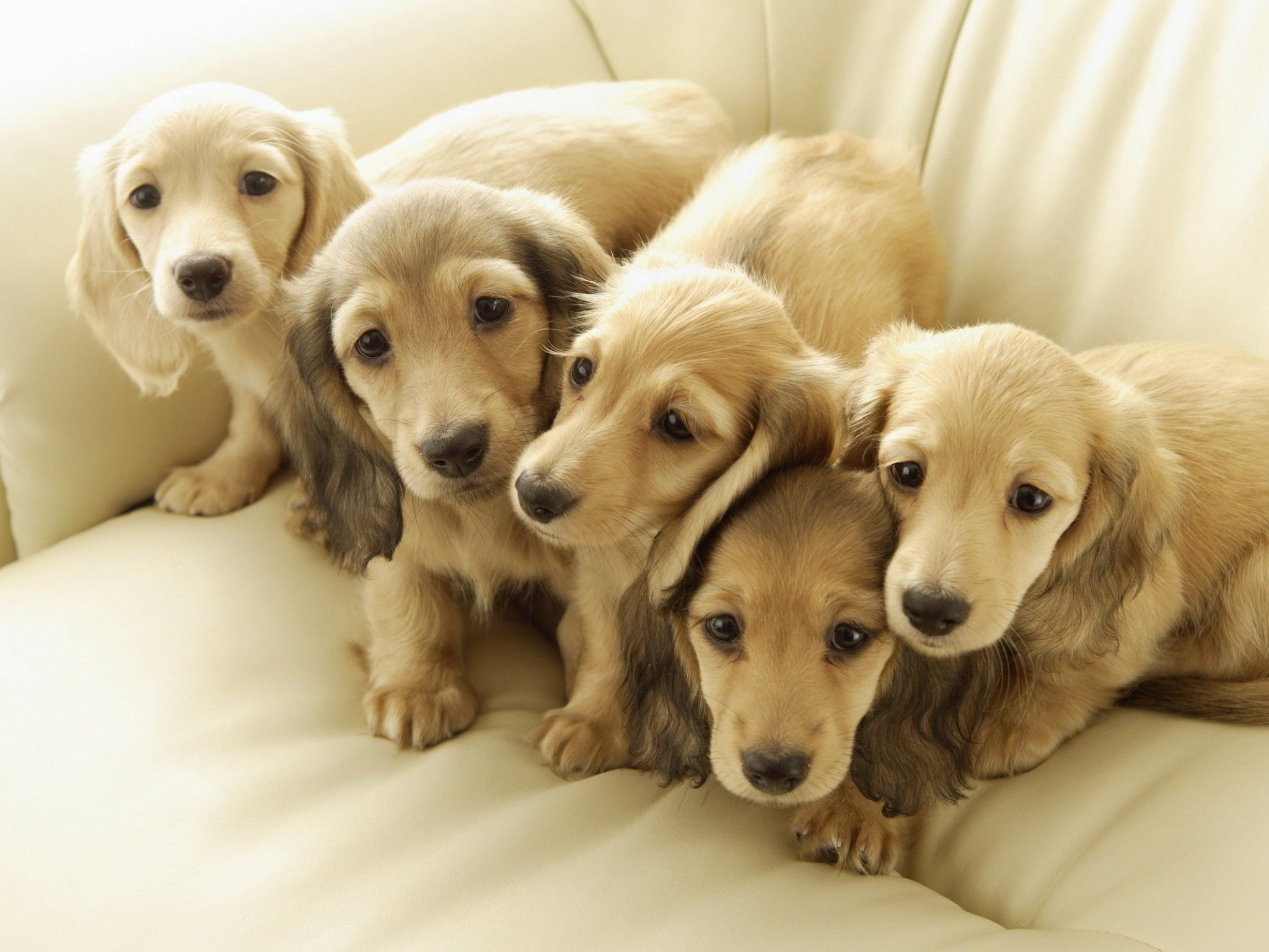 2048x1536 Dachshund Puppies Widescreen Wallpaper