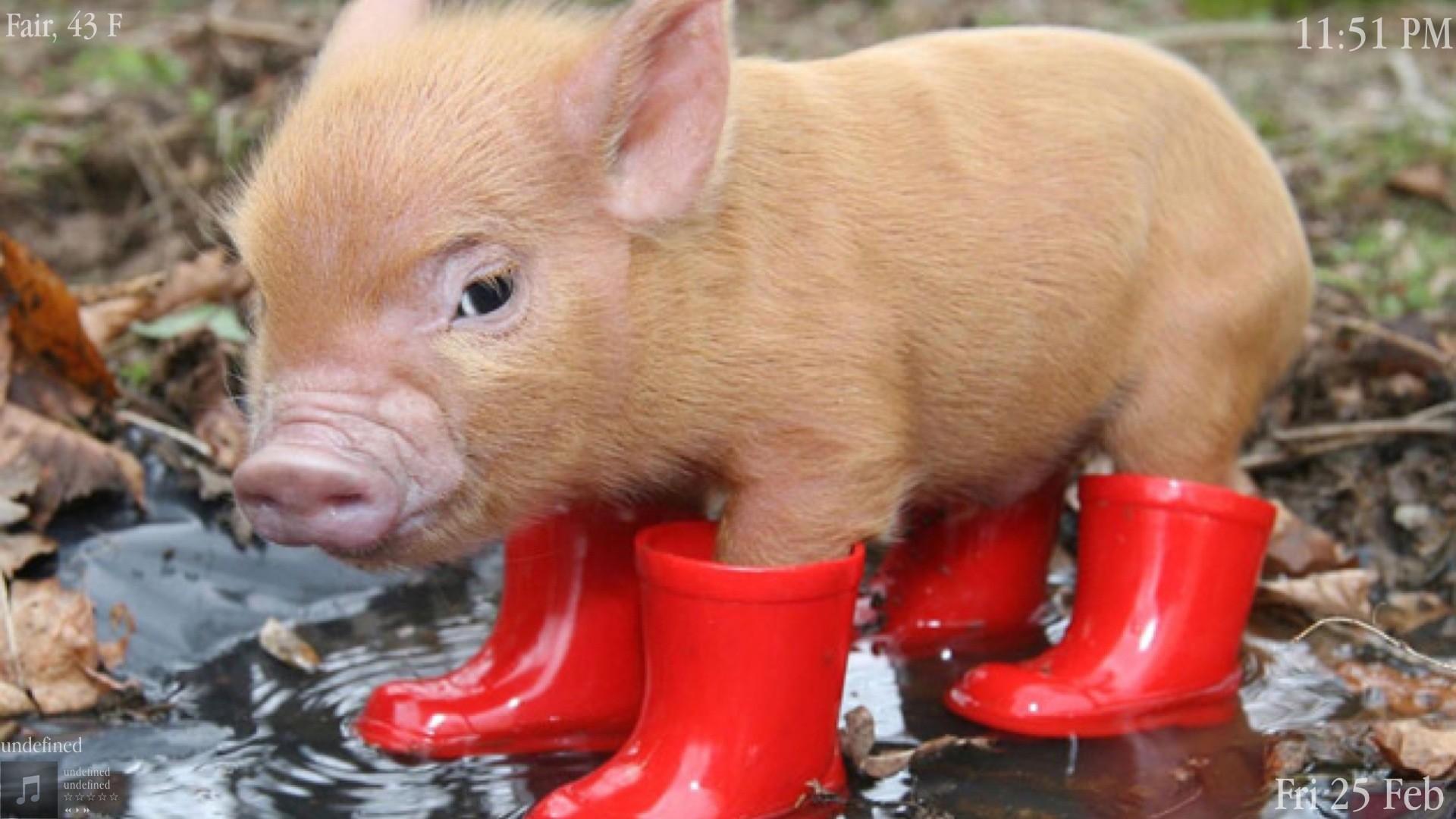 pig screensaver wallpaper 66 images