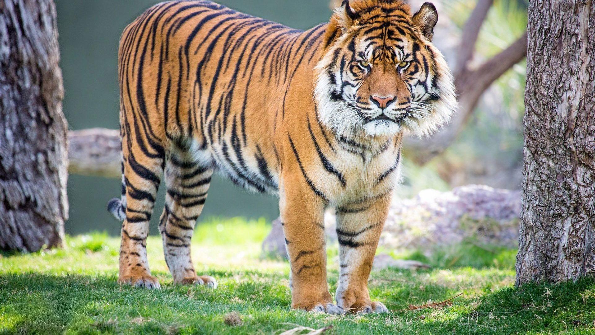 Tiger Hd Wallpaper 81 Images