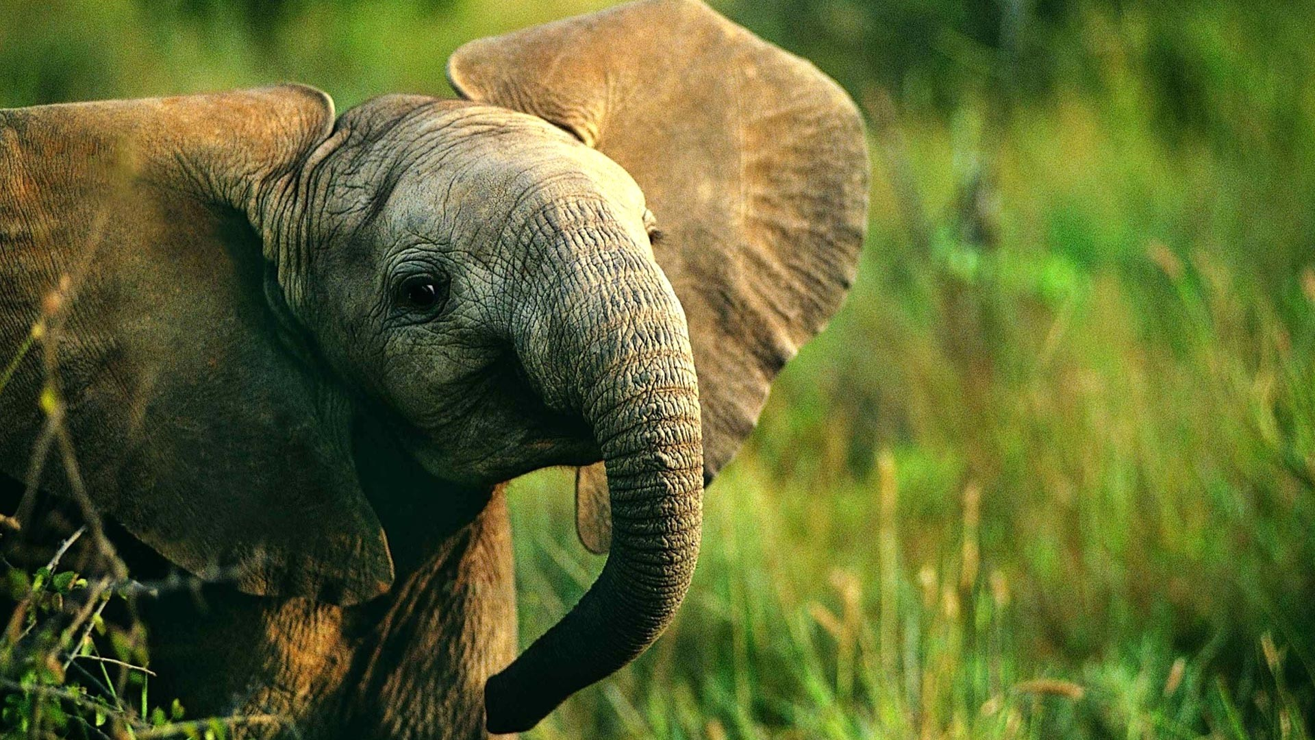 Baby Elephant Wallpaper (66+ images)