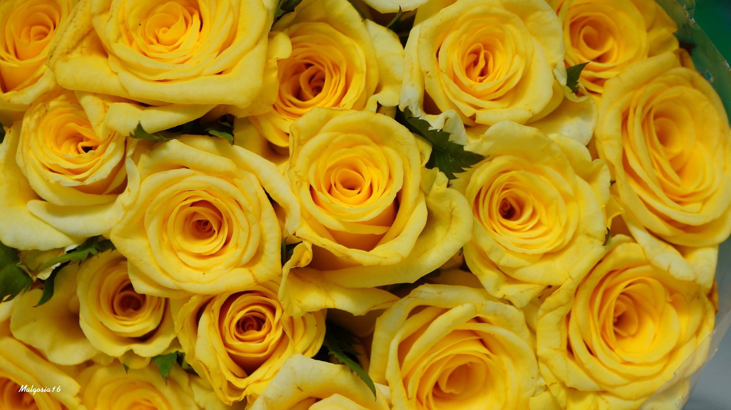 Yellow Roses HD Wallpaper 2880x1800