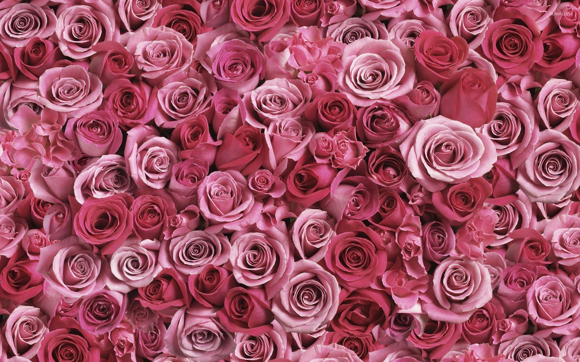1920x1200 A lot of pink roses wallpaper  jpg