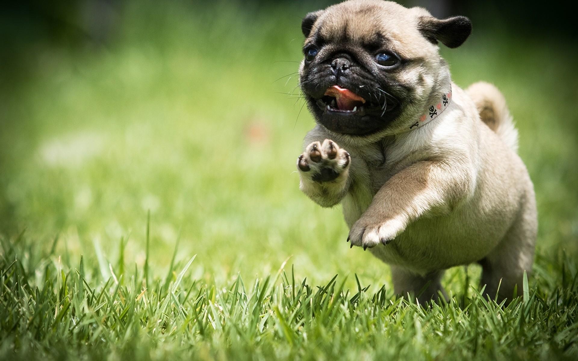 1080x1920 Cute Pugs Puppies IPhone 6 Wallpaper HD