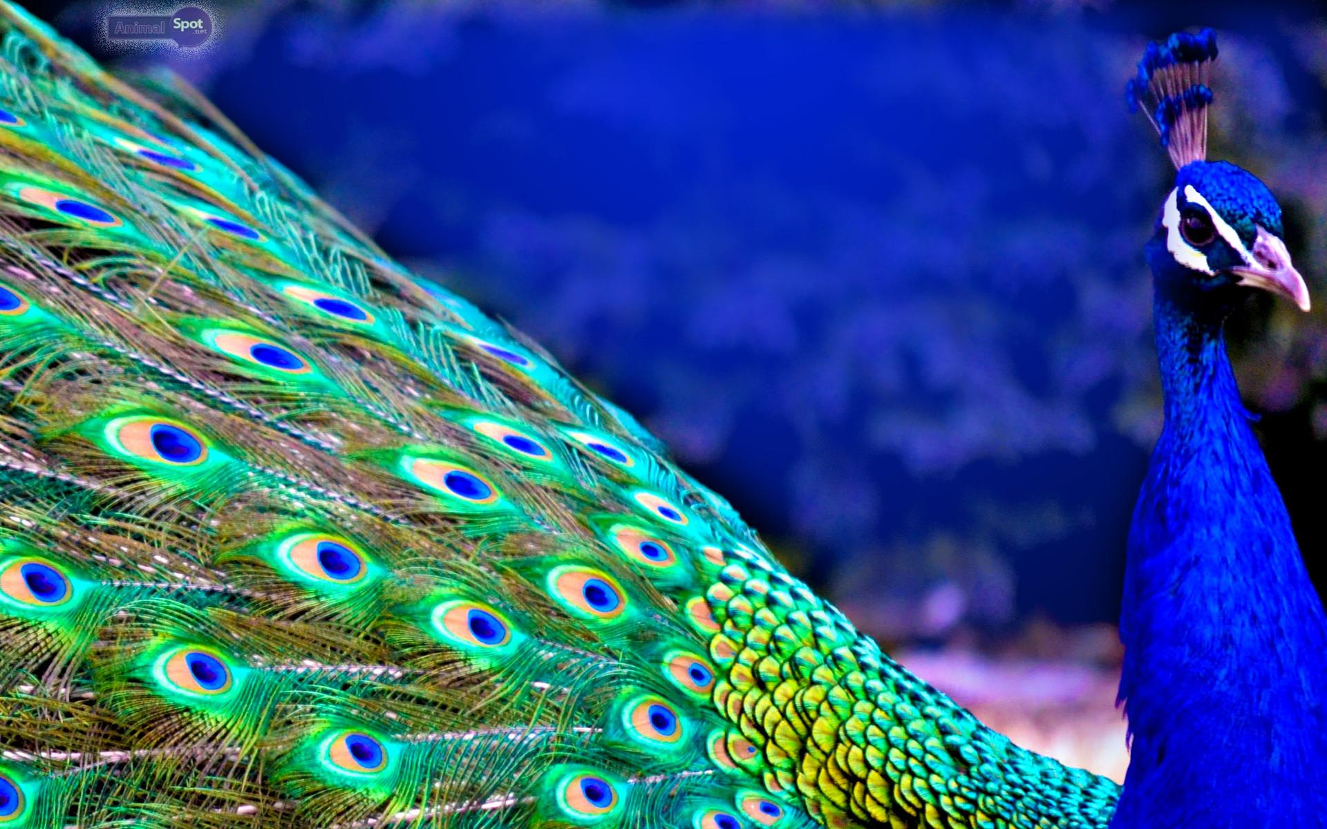 White Blue Peacock Wallpaper 4309 Loadtve