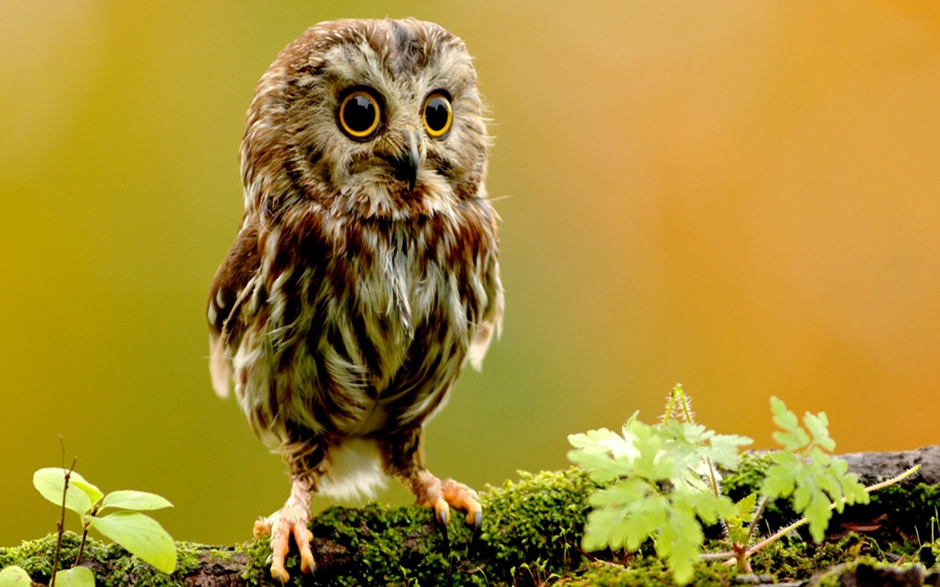 1920x1200 cute owl wallpapers. Â«Â«