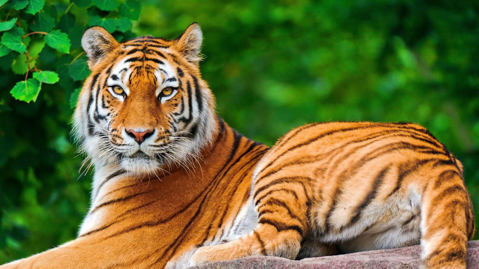 1920x1080 nature, Animals, Tiger, Big Cats Wallpapers HD / Desktop and Mobile  Backgrounds