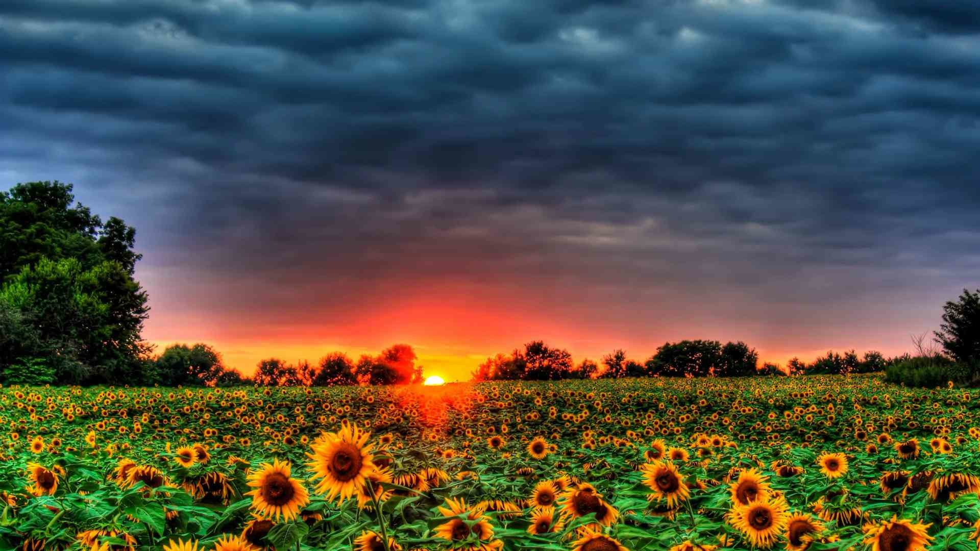 1920x1080 The sun setting on a field of sunflowers
