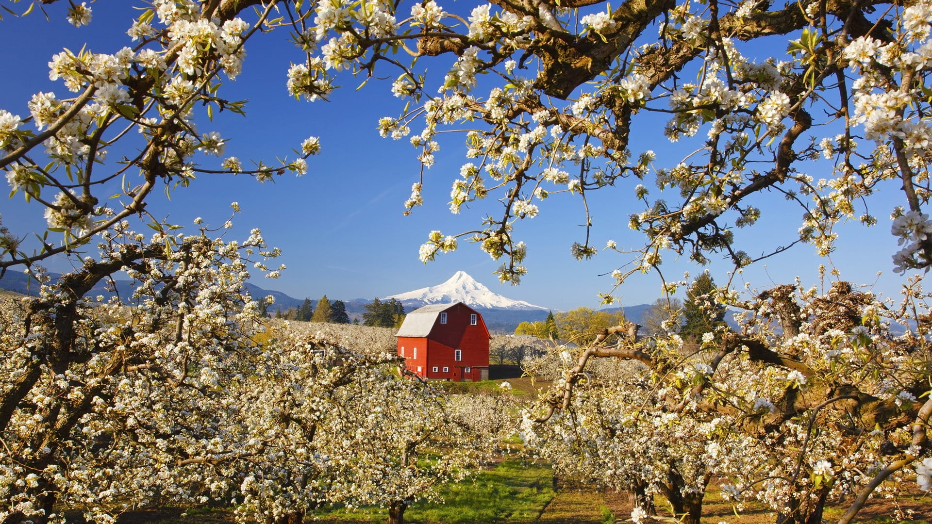 1920x1080 photo of cherry blossoms and red barn HD wallpaper