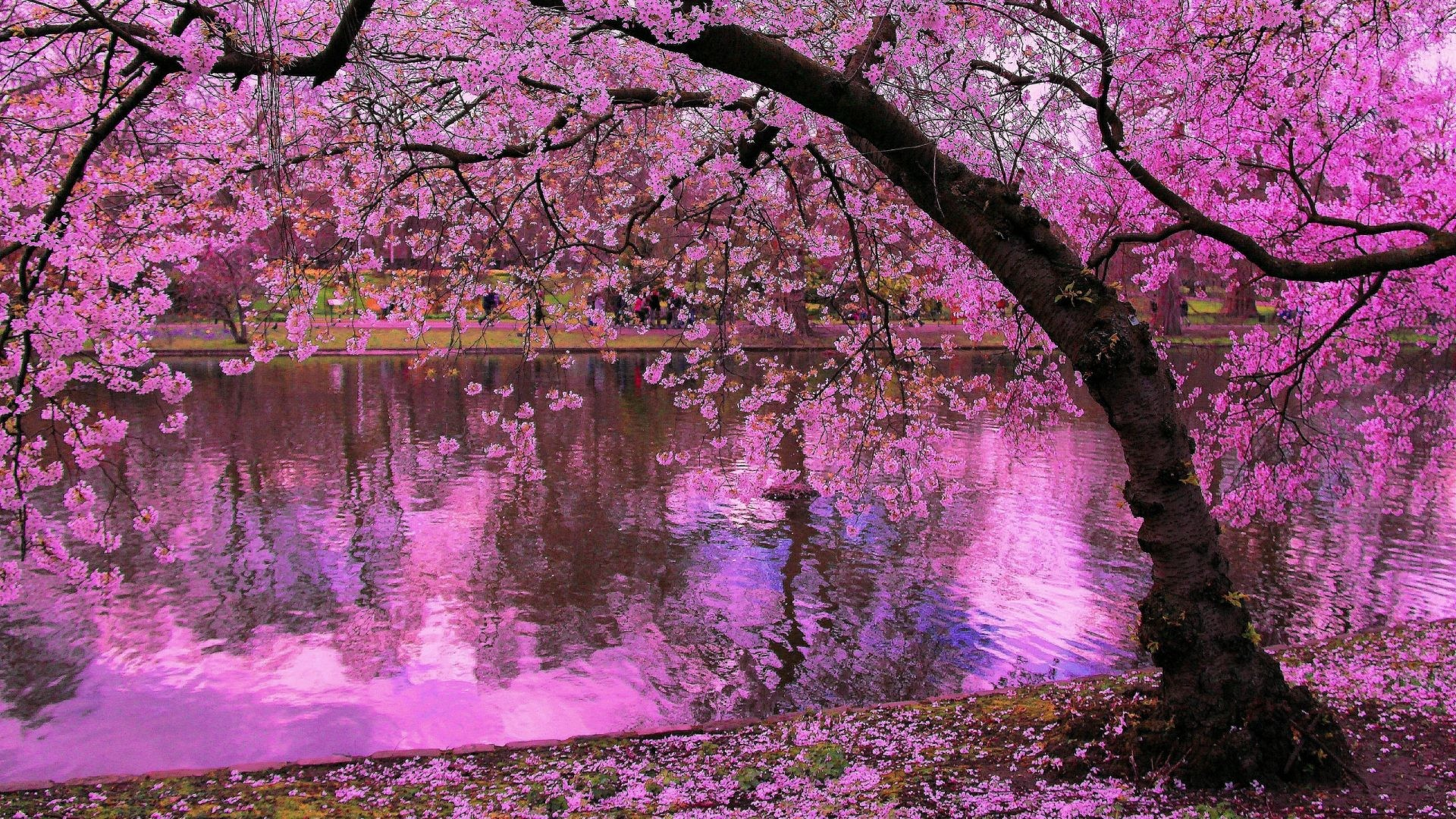 japanese cherry blossom wallpaper 1920x1080 59 images. Black Bedroom Furniture Sets. Home Design Ideas