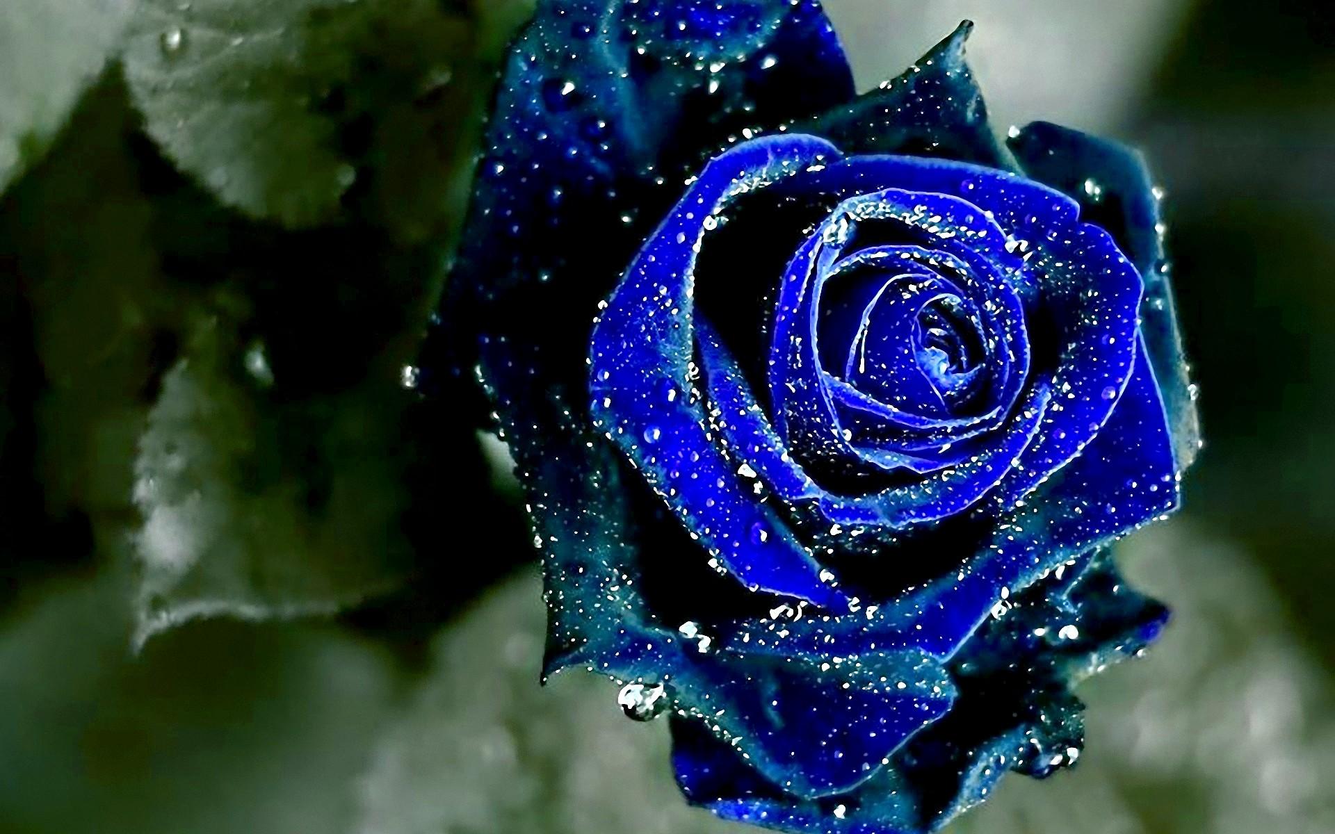 Blue Roses Background (48+ images)