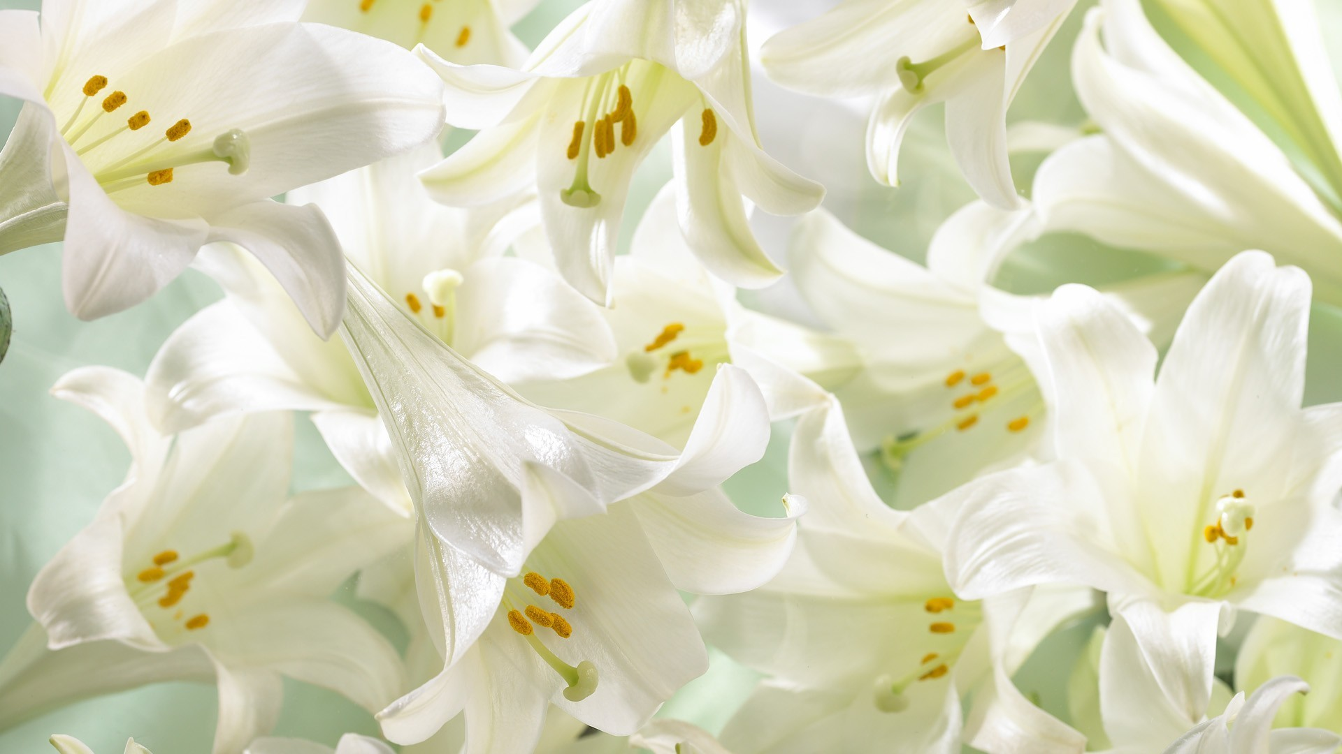 1920x1080 Easter Lilies Wallpaper  Easter, Lilies