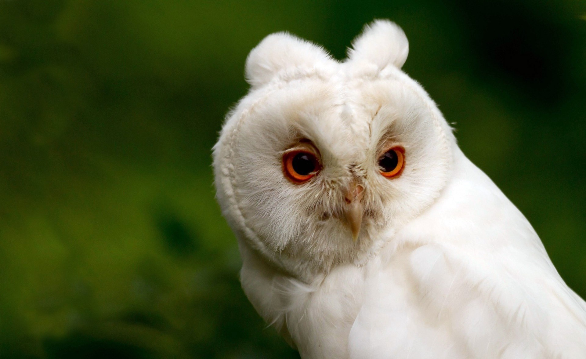 Snowy Owl Wallpaper  X