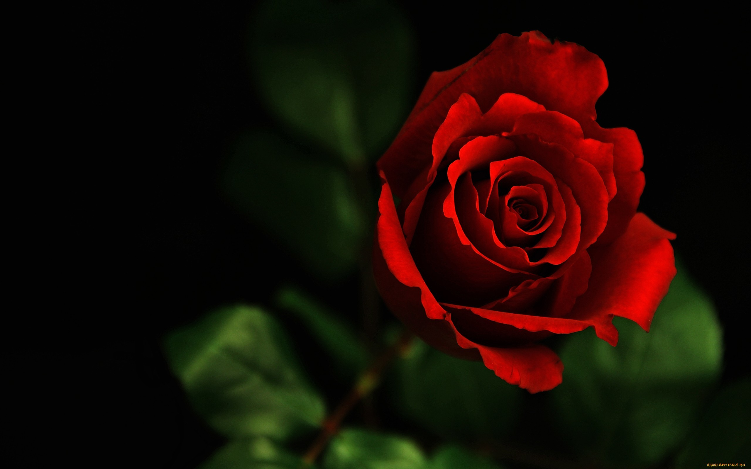 2560x1600 Beautiful Flower Red Rose Photo
