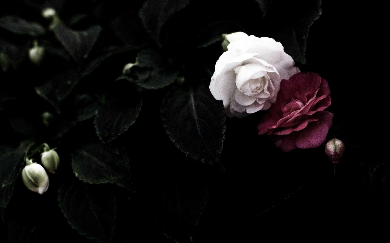 Black Roses Background 49 Images