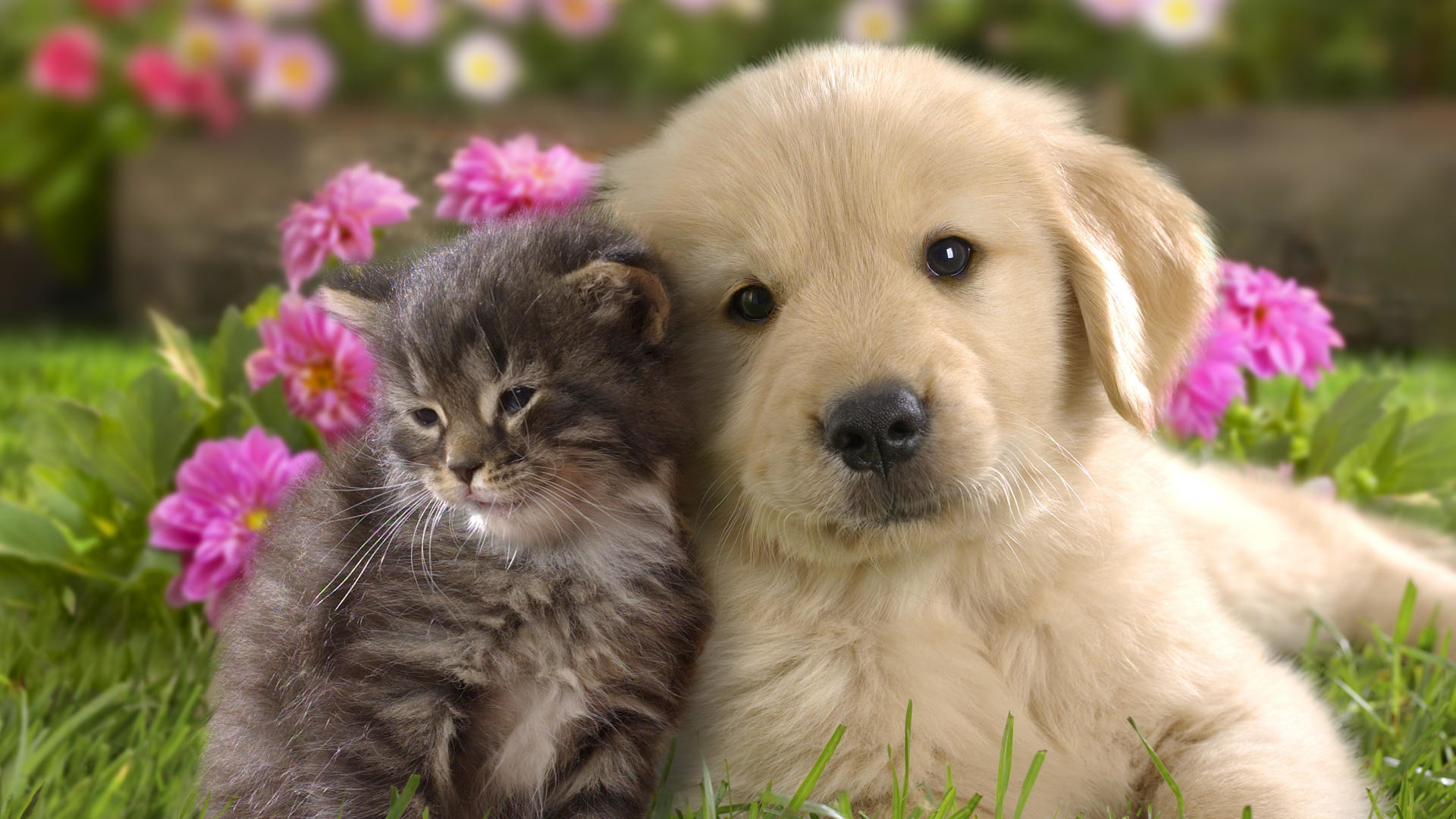1920x1080 Cute Cats And Kittens And Dogswallpapers Kittens Puppy Cu Cute Dog Kitten  Love Nice O Pisica