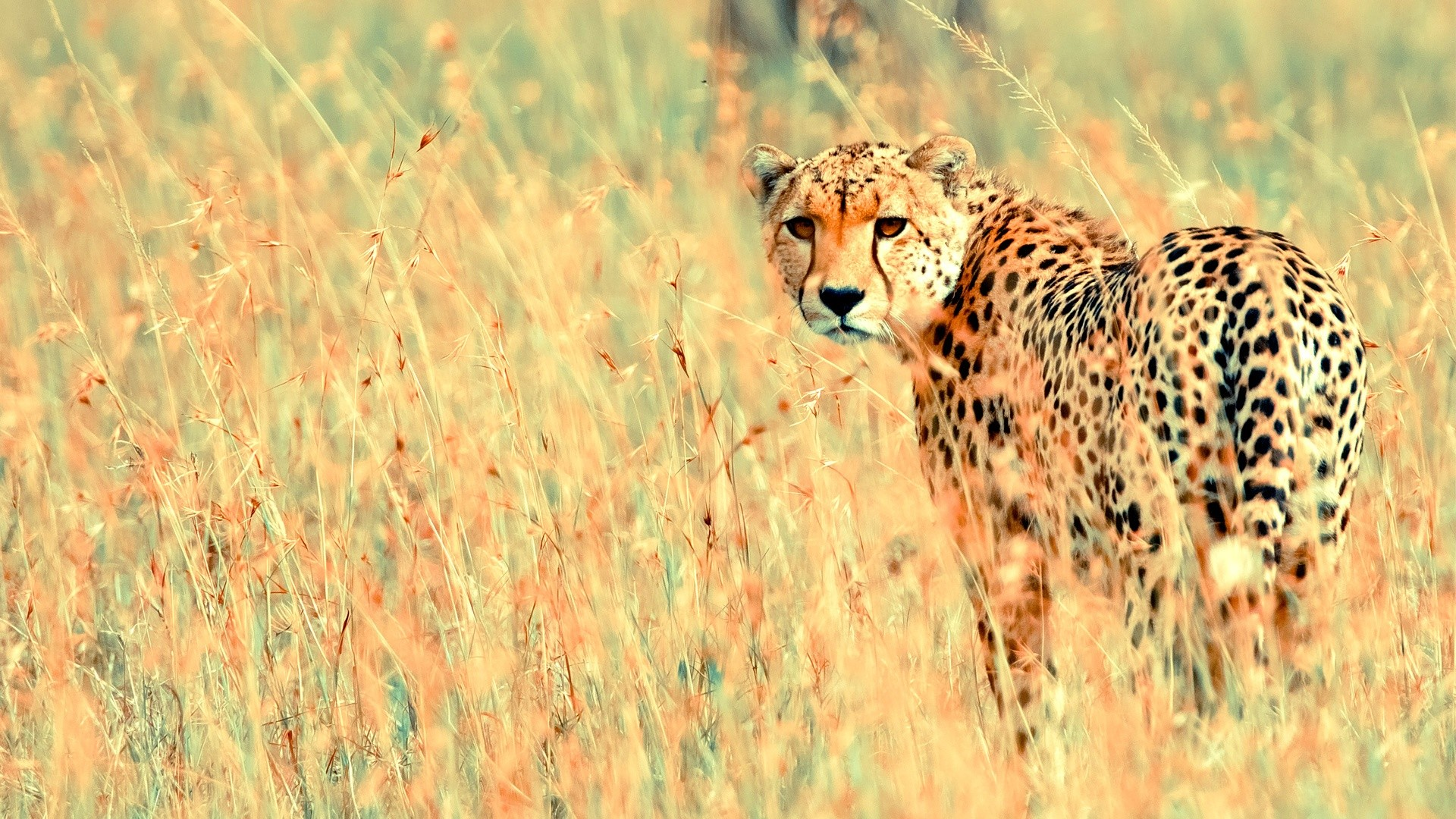 1920x1080 beautiful cheetah animal wallpaper | Desktop Backgrounds for Free HD  Wallpaper | wall--art