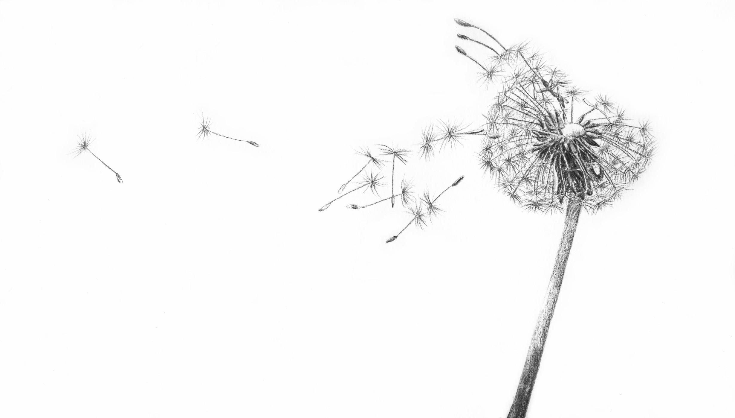 Blowing Dandelion Wallpaper 71 Images