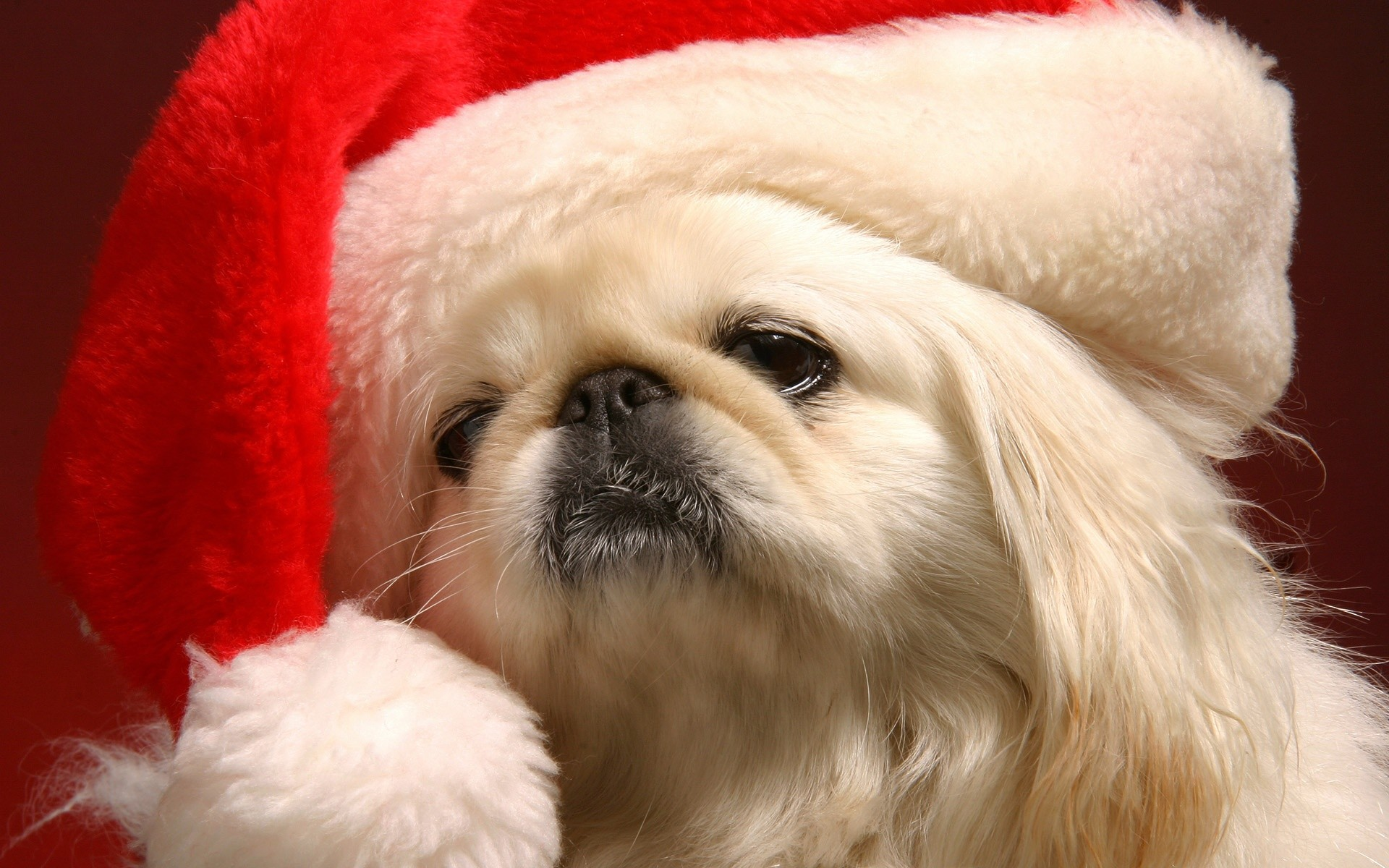 1920x1200 cute christmas puppy pictures wallpaper