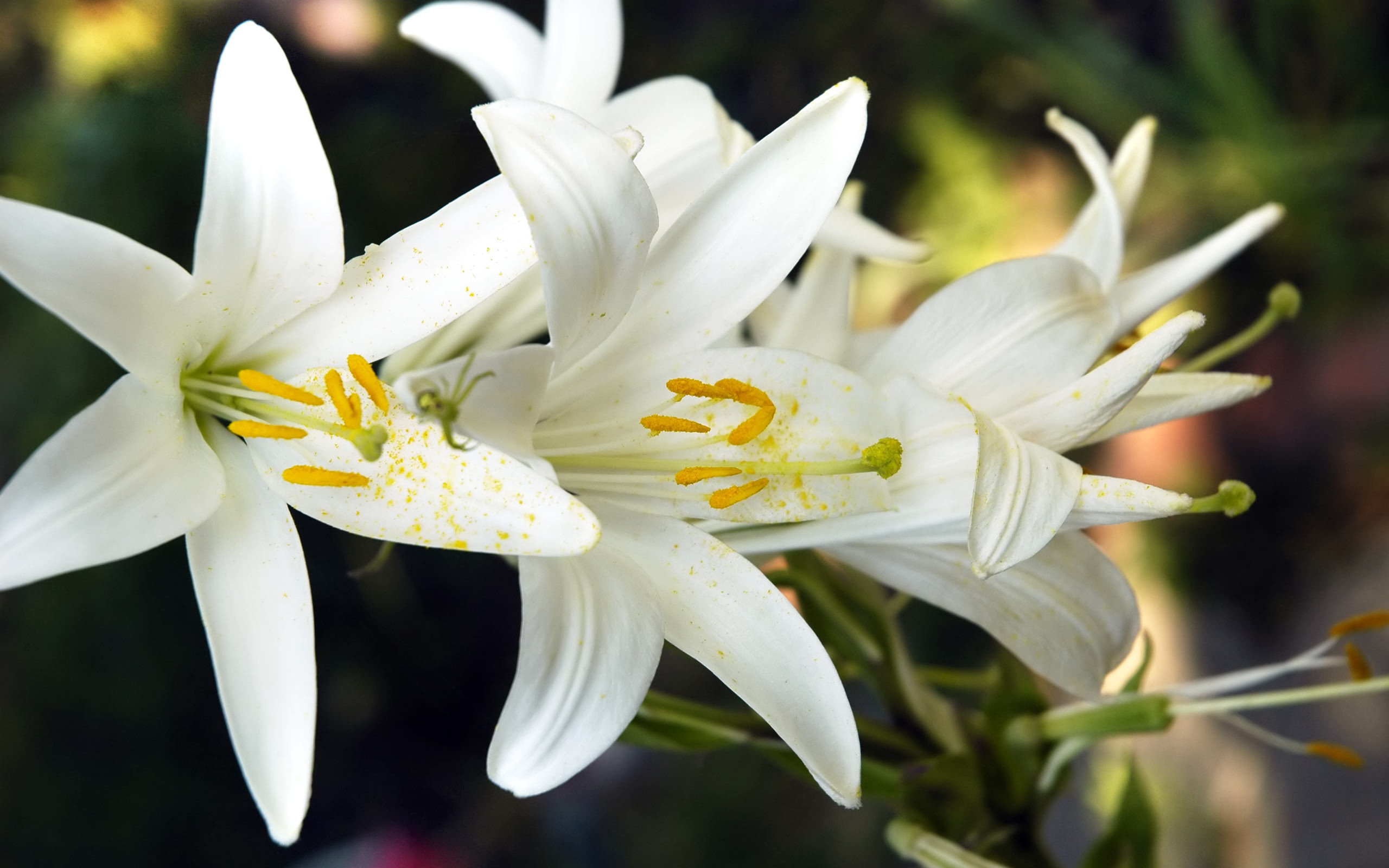 2560x1600 White Lily Wallpapers High Resolution