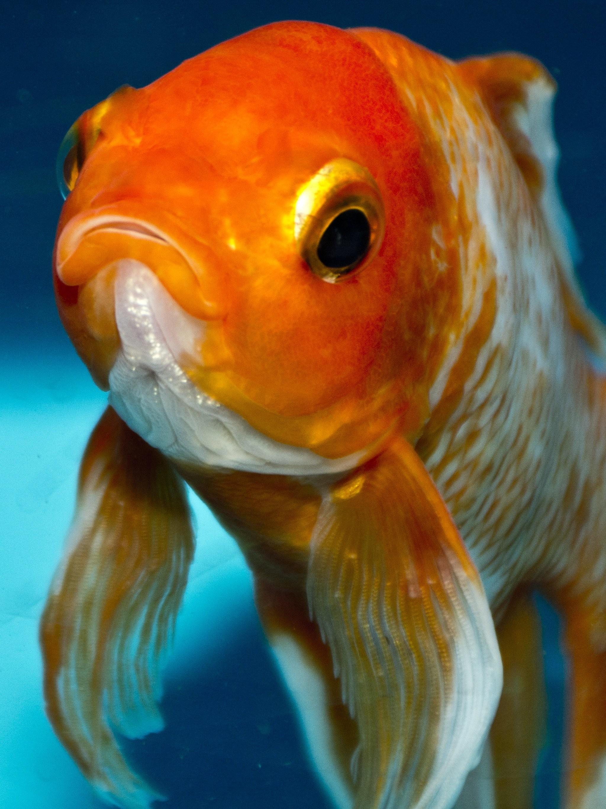Gold Fish Wallpaper (67+ images)