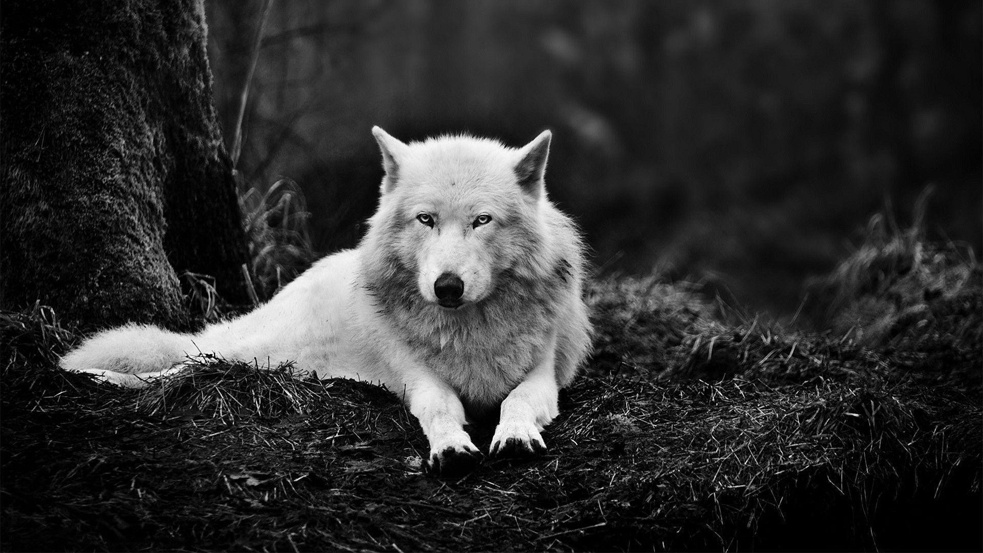 1920x1080 1920x1080 White wolf Wallpaper
