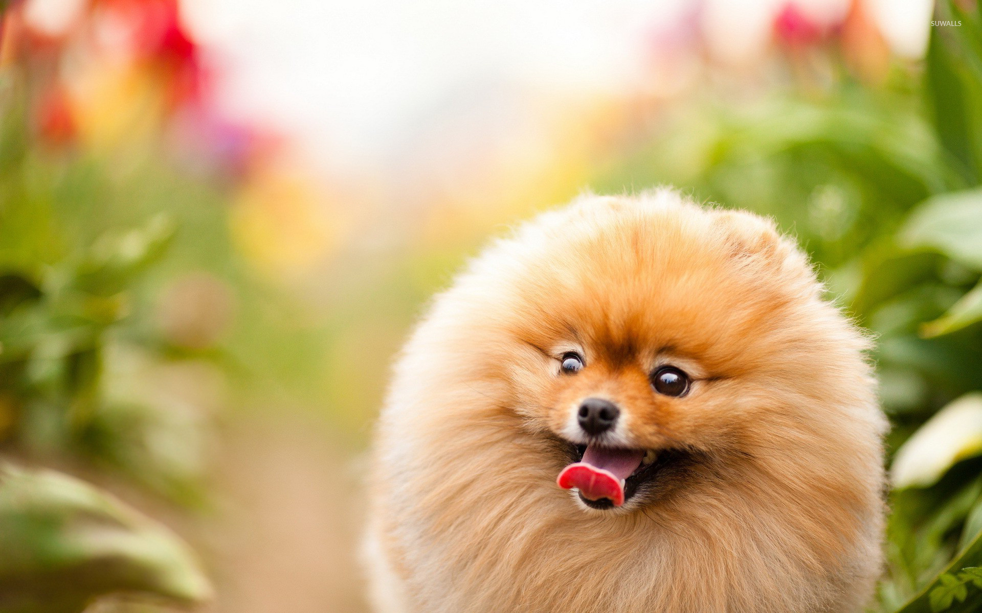 1920x1200 Excited pomeranian wallpaper  jpg