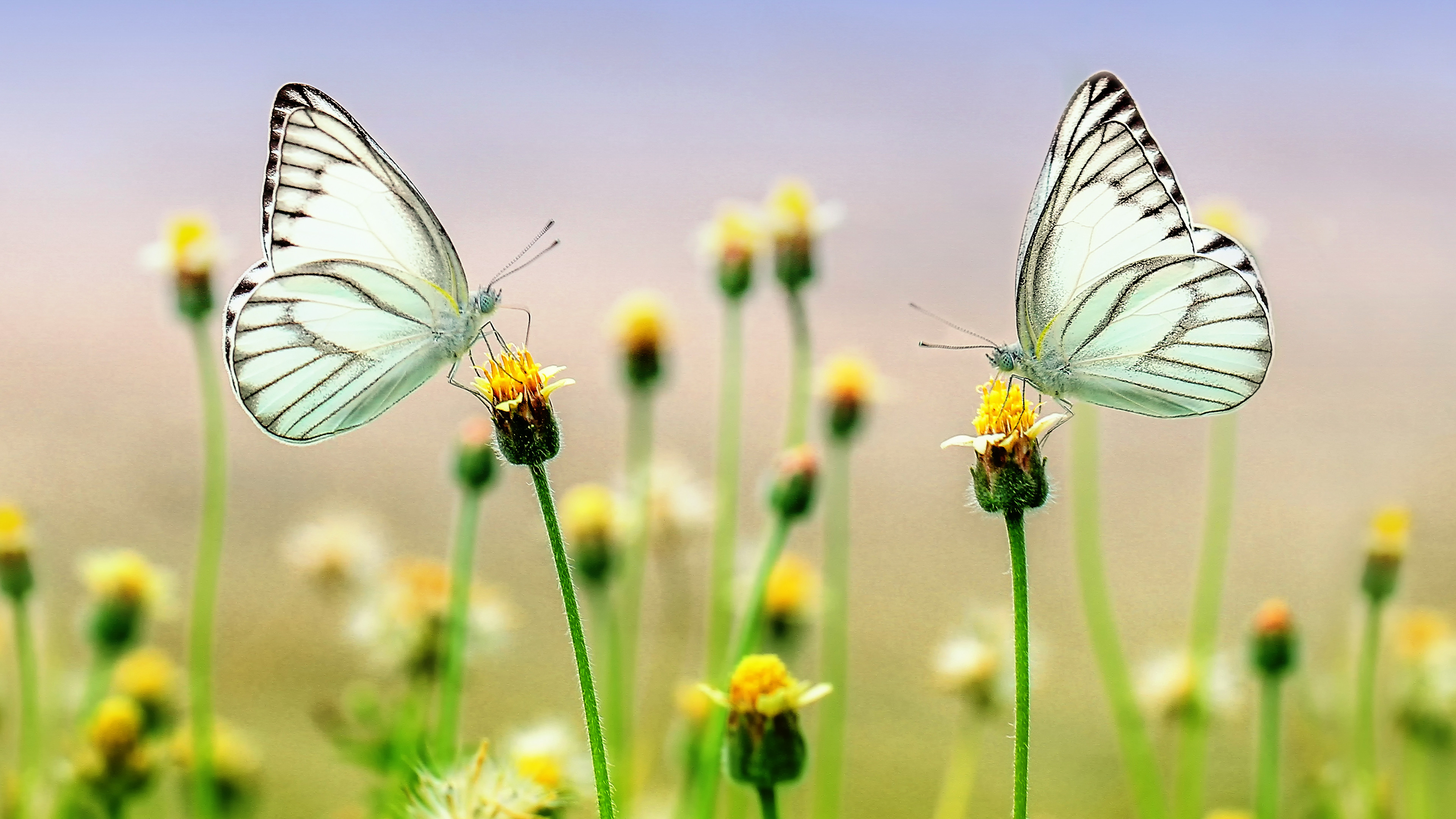 3840x2160 Butterfly Heaven ChromeBook Wallpaper