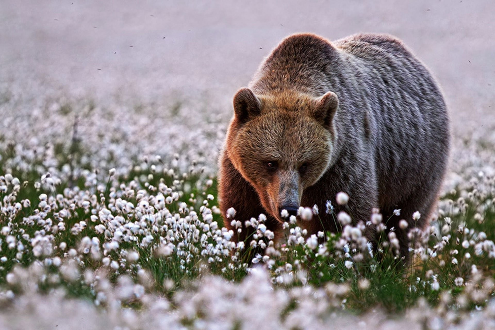 1920x1281 brown bear in the Spring