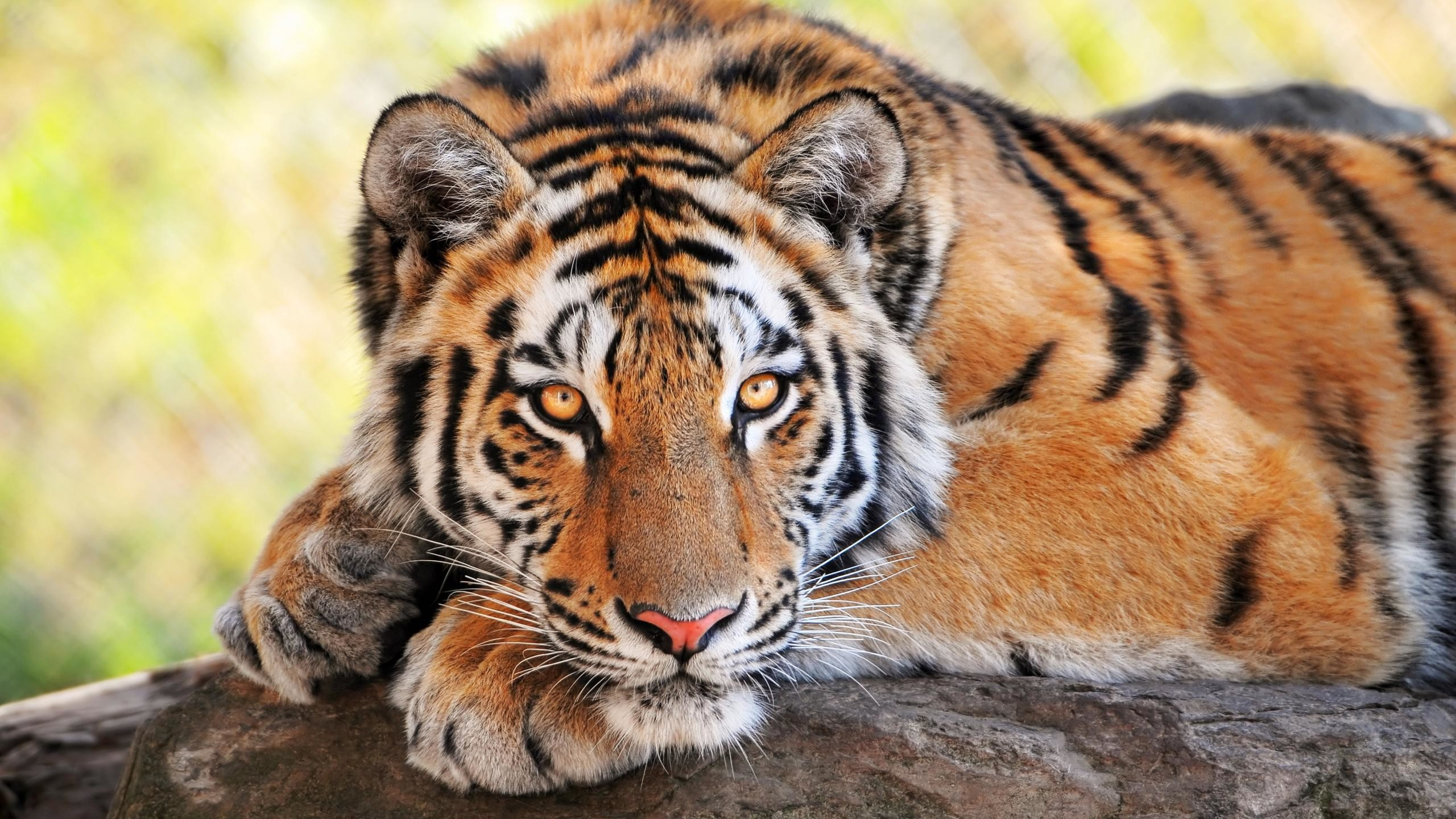 big cat wallpapers (56+ images)