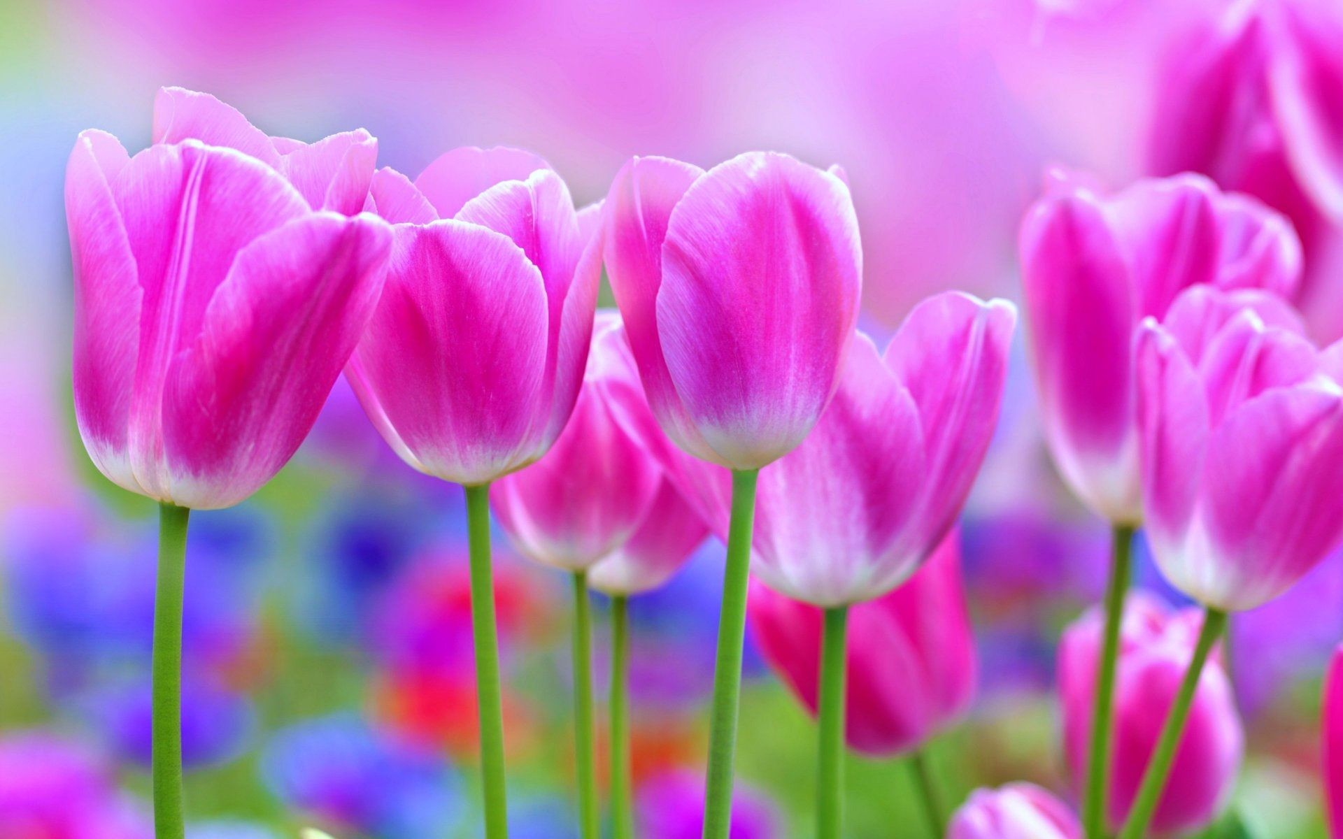 1920x1200 Pink Tulips Beautiful Flower Wallpaper