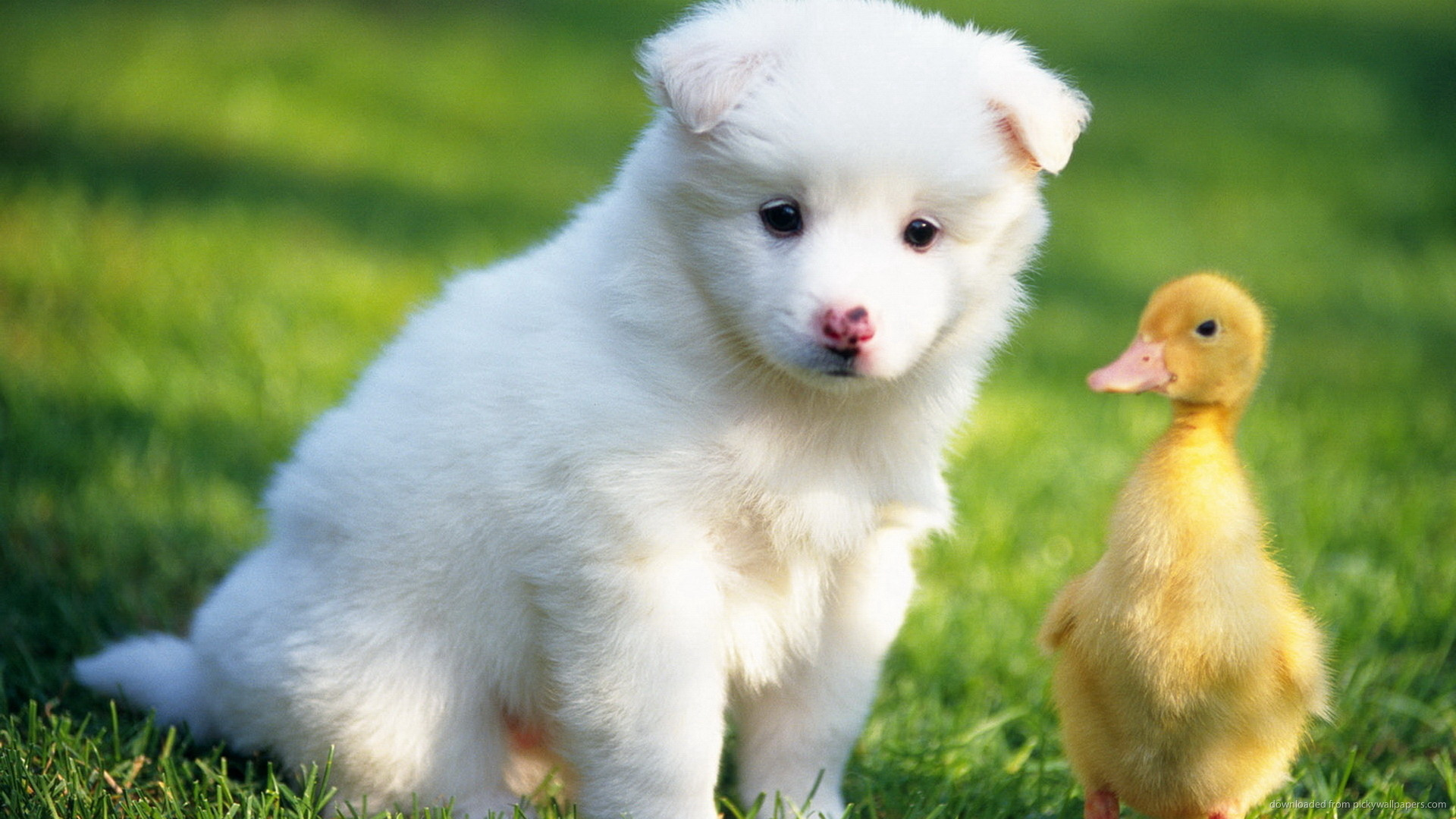 1920x1080 Puppy and a duckling for