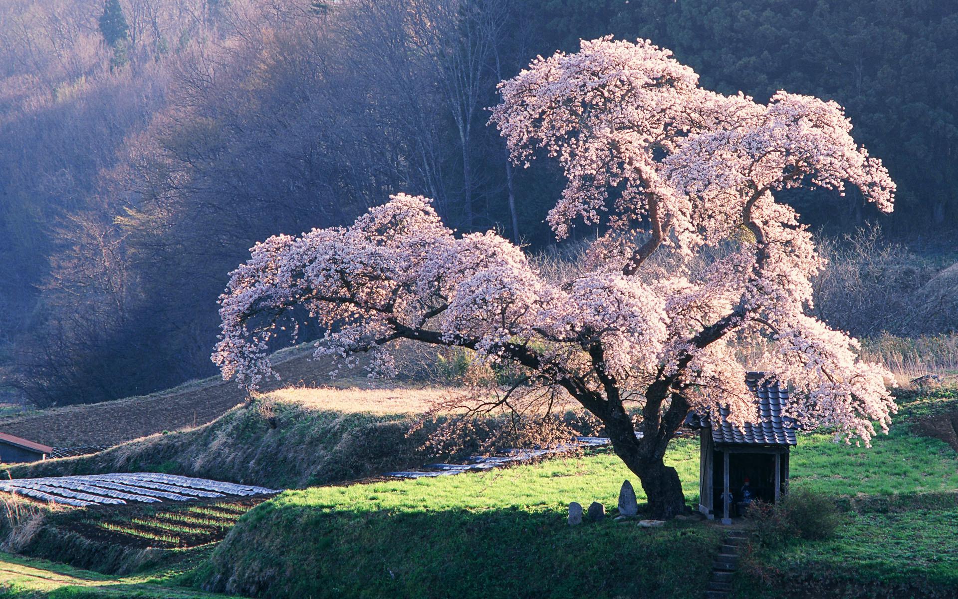 Cherry Blossom Tree Desktop Wallpaper Free Wid Full HD Wide