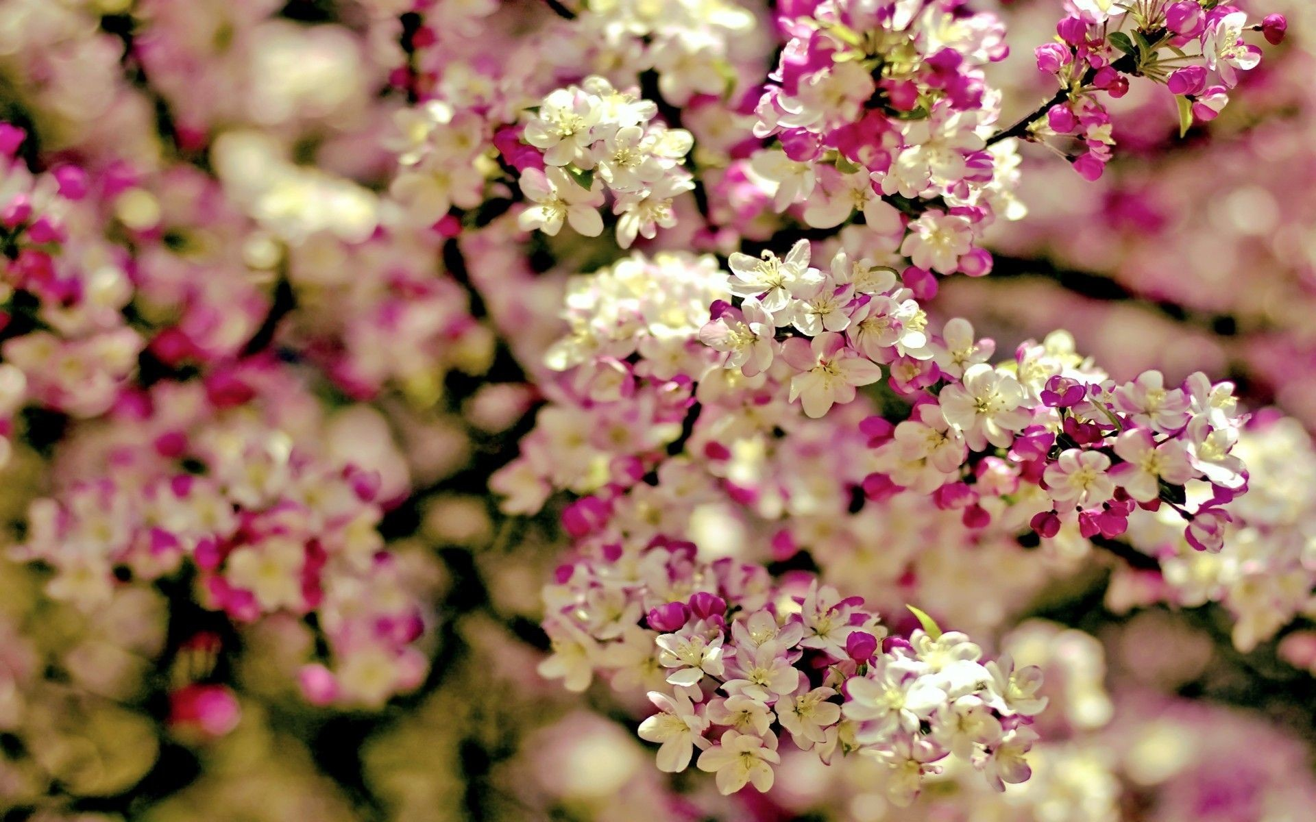 1920x1200 Spring Flowers Background | wallpaper spring tree flowers categories flowers  downloads 3199 added .