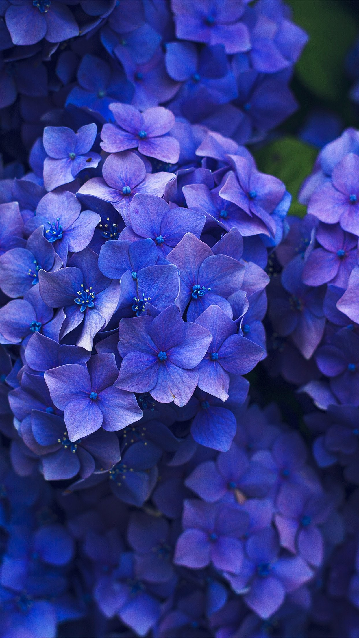 1242x2208 nr08-flower-spring-blue-purple-nature