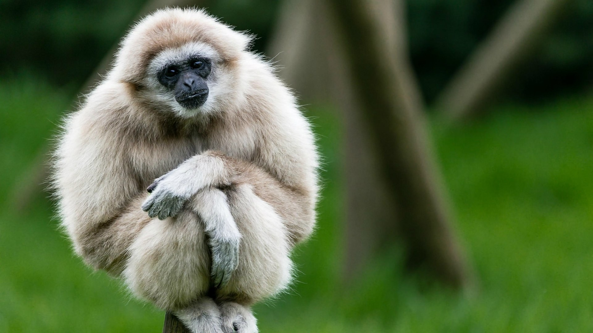 1920x1080 Cute white gibbon