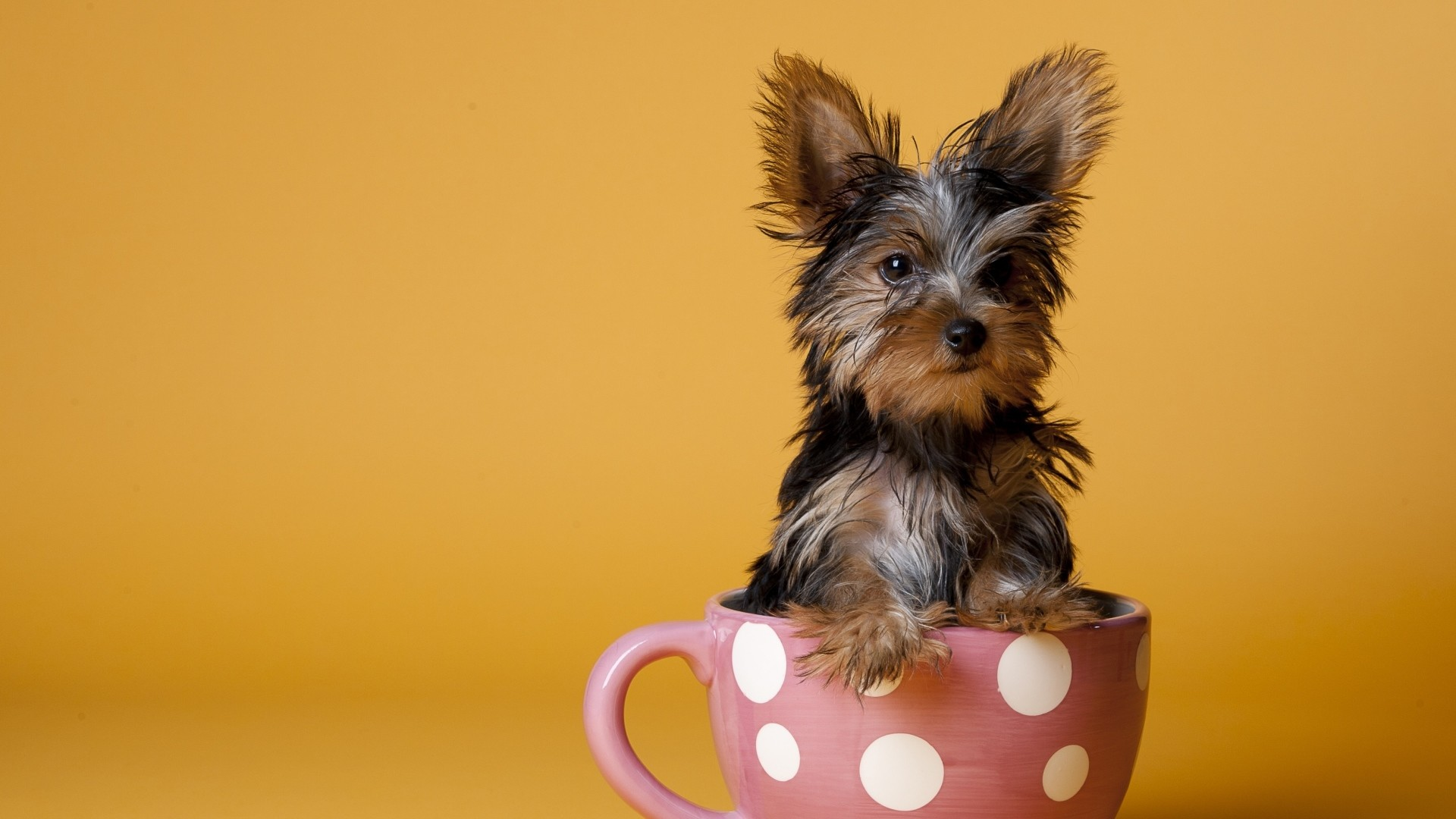 1920x1080 Preview wallpaper yorkshire terrier, cup, puppy, dog, sit
