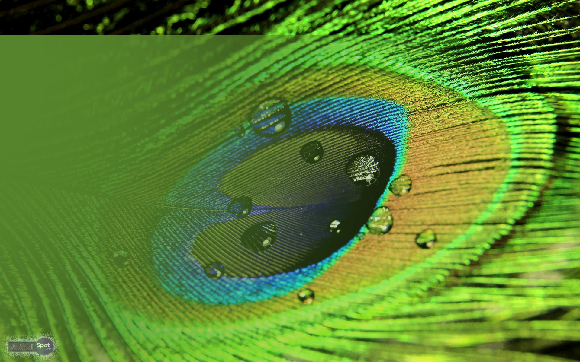1920x1200 Bright Peacock Feather Backgrounds Photography | •WallPapers .