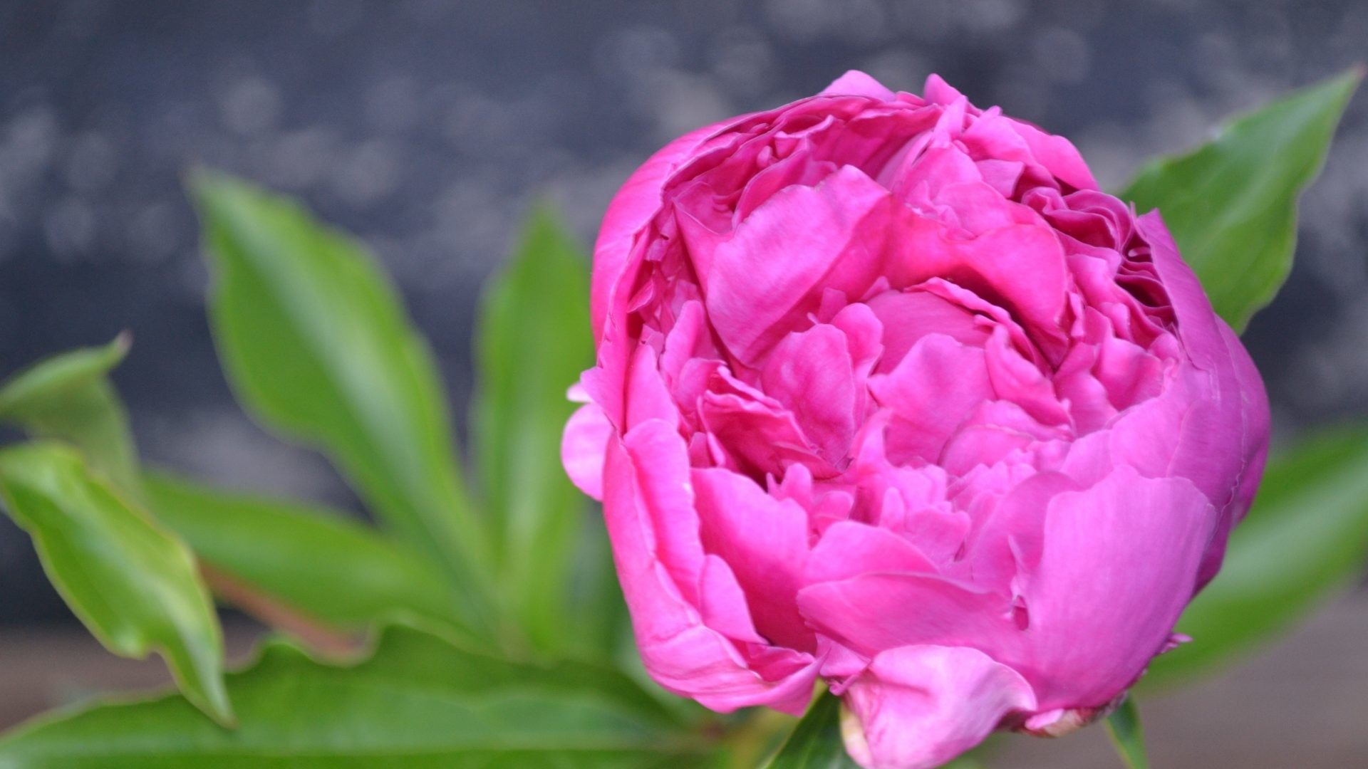 1920x1080 Peony Tag - Garden Pink Bright Flowers Fresh Green Queen Beautiful  Innocence Peony Love Forever Wonderful