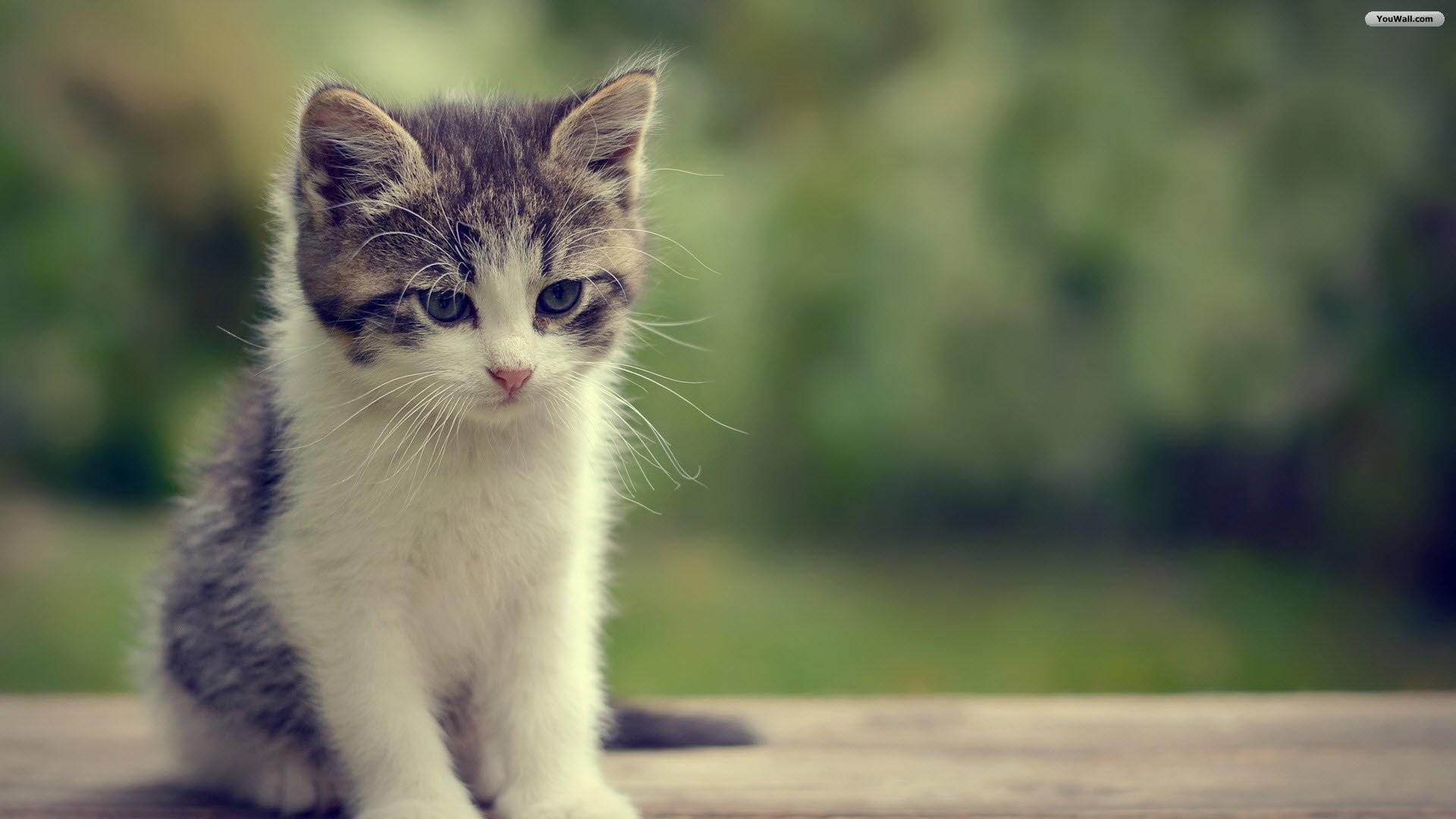 1920x1200 White Cat Blue Eyes Hd AA