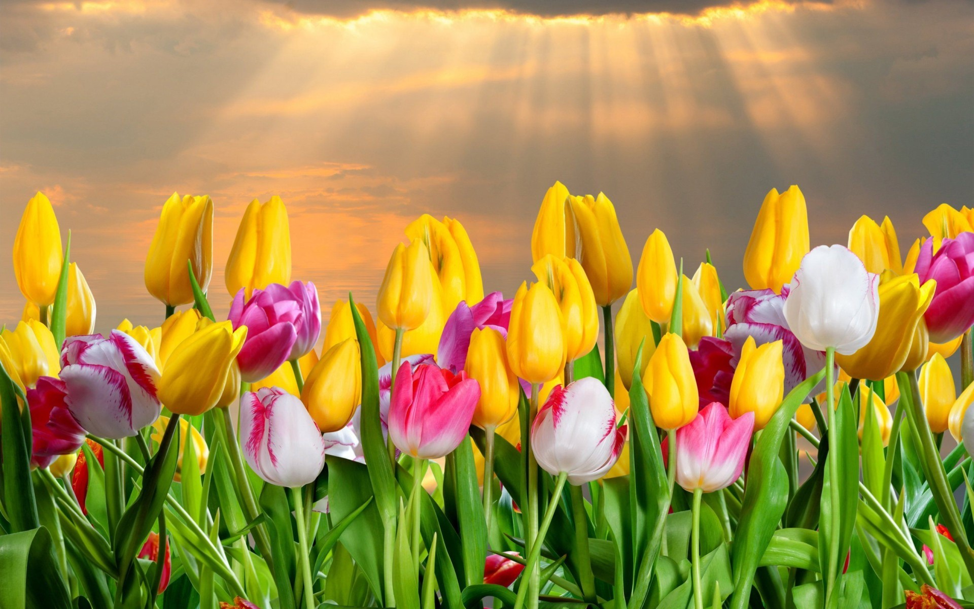 1920x1200 Color Tulips Flowers Wallpaper