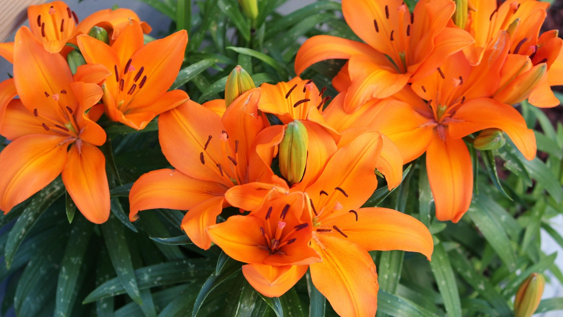1920x1080 Preview wallpaper lily, orange, bright, flowers
