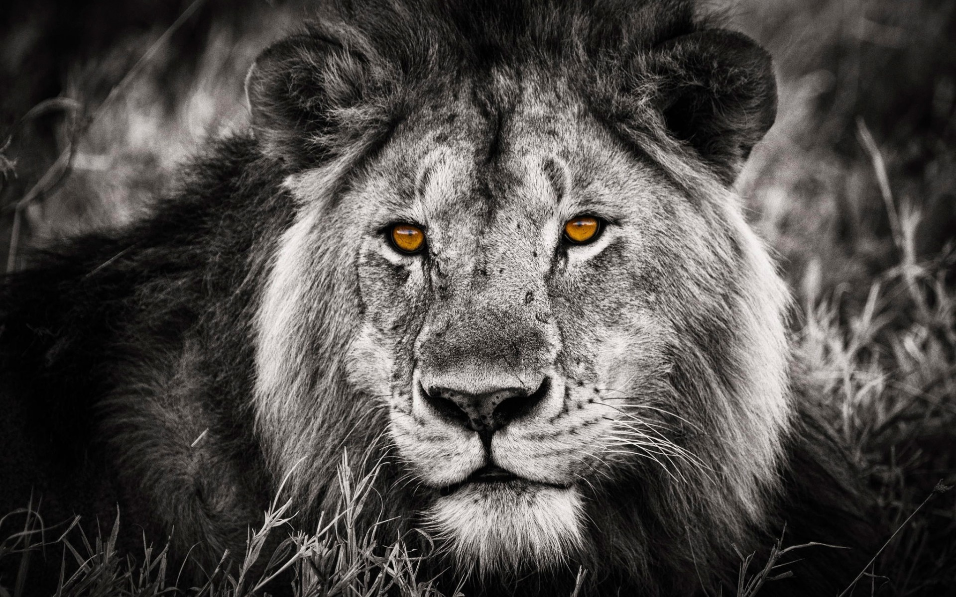 Angry lion wallpaper hd black and white