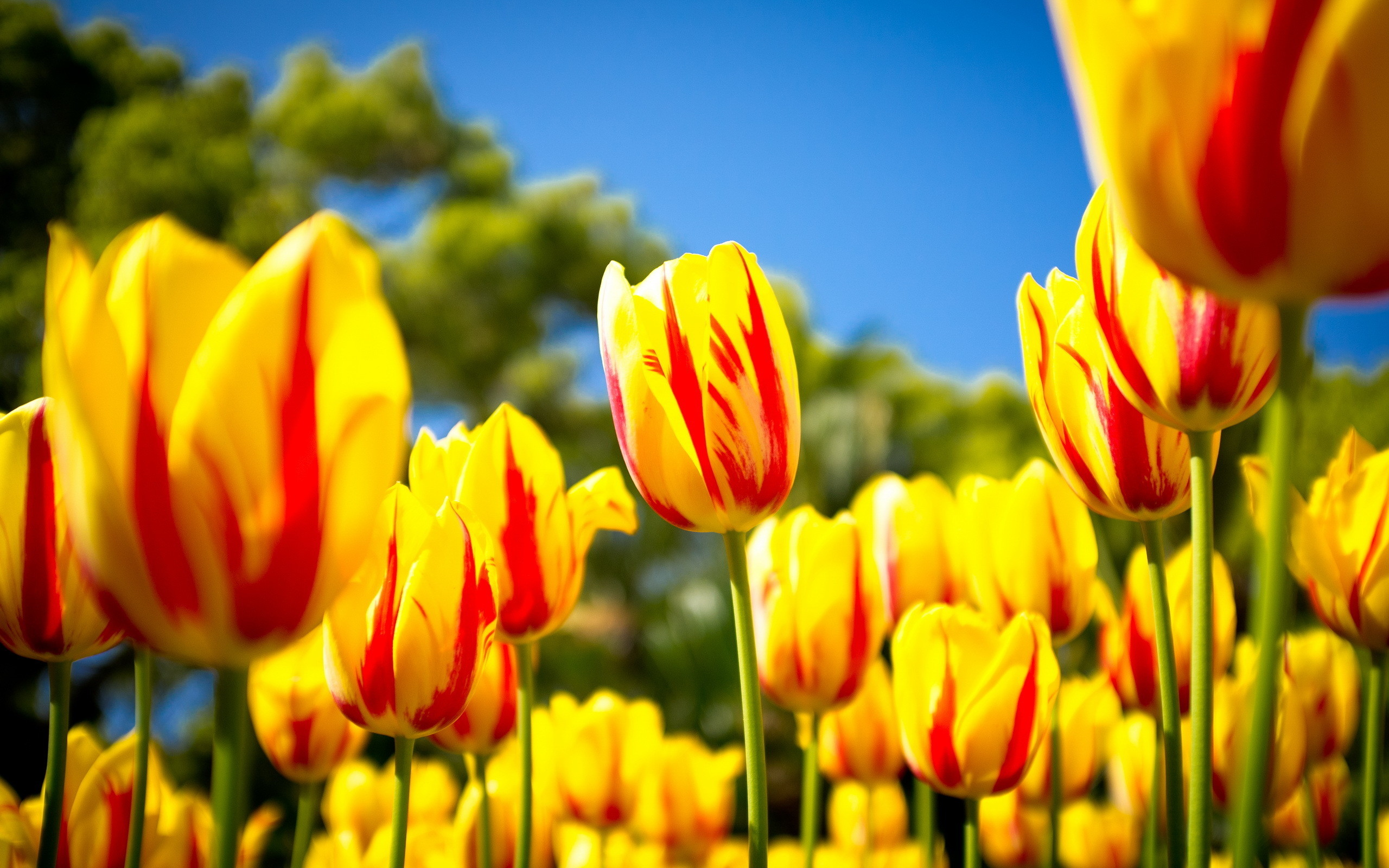 2560x1600 Nature HD Wallpaper with Yellow Tulips in Spring - HD Wallpapers for Free