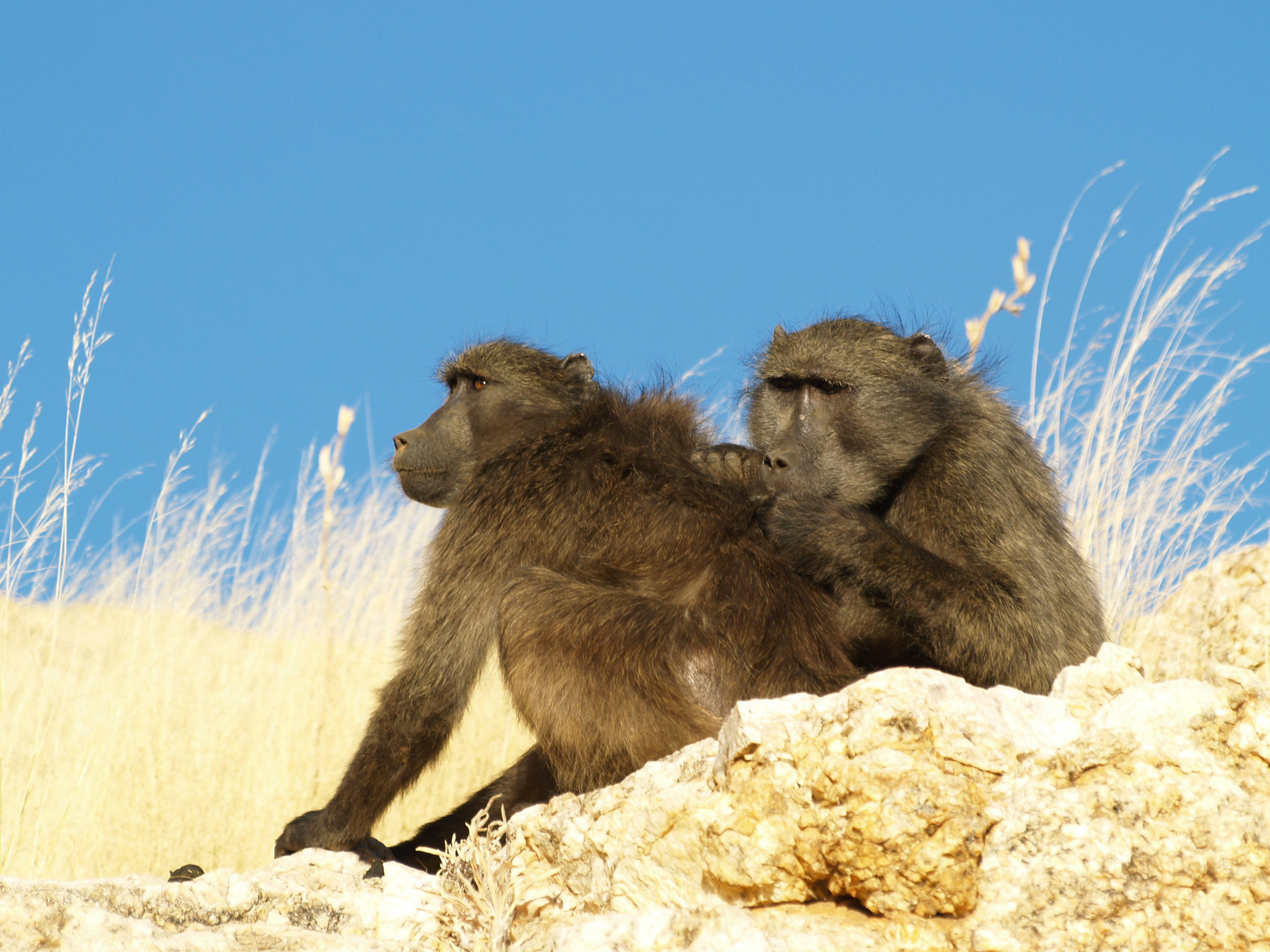 2048x1536 Baboons make vowel sounds similar to humans revealing the evolution of  language, study finds | The Independent