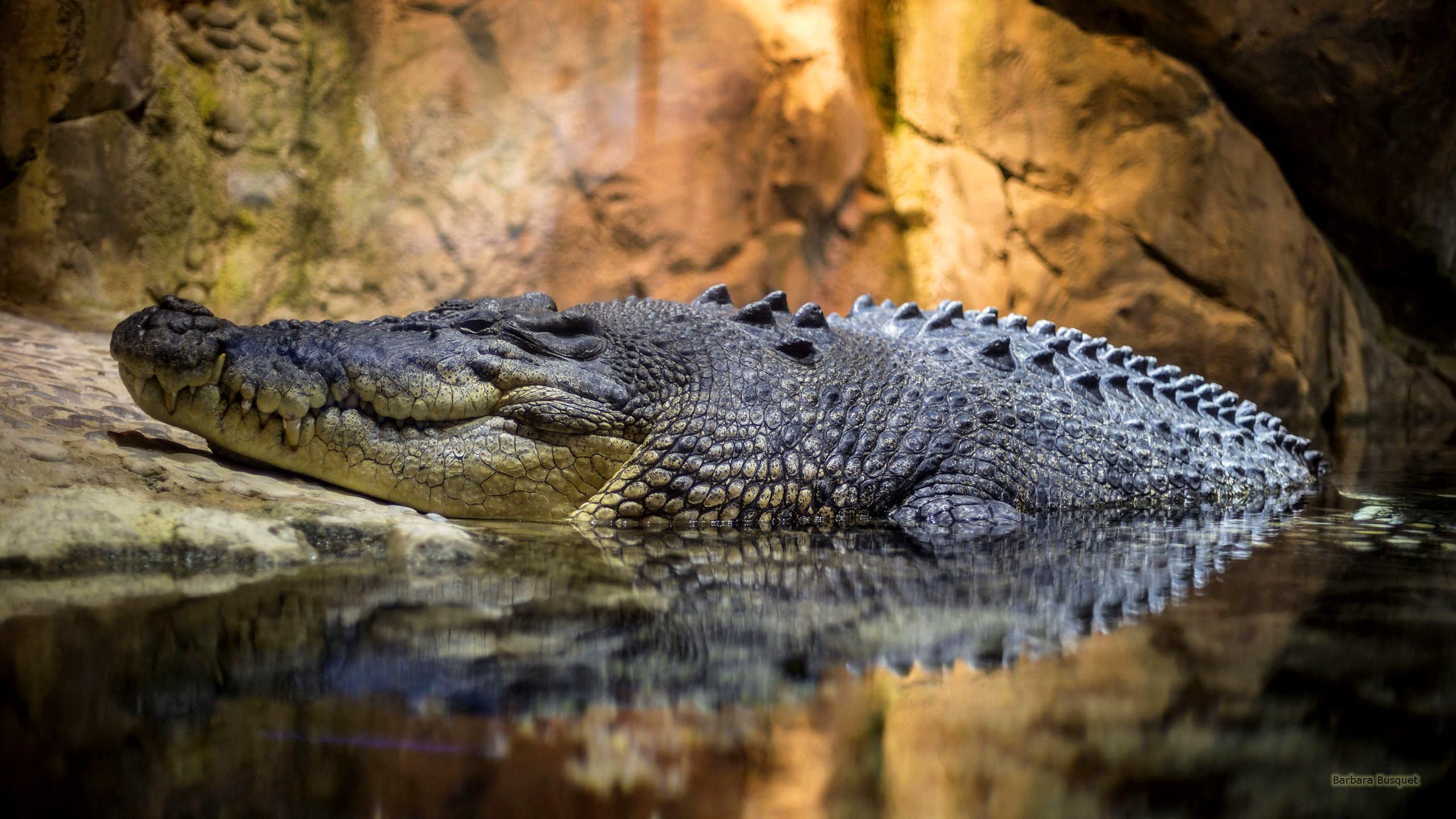 Crocodile Wallpaper (73+ images)
