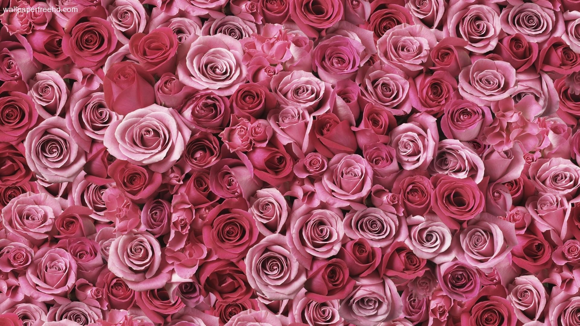 Pink floral wallpapers 57 images 1920x1200 pink flowers beauty wallpaper flowers pink flower hd desktop wallpapers mightylinksfo