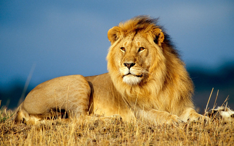 2880x1800 White Lion Roar Wallpaper