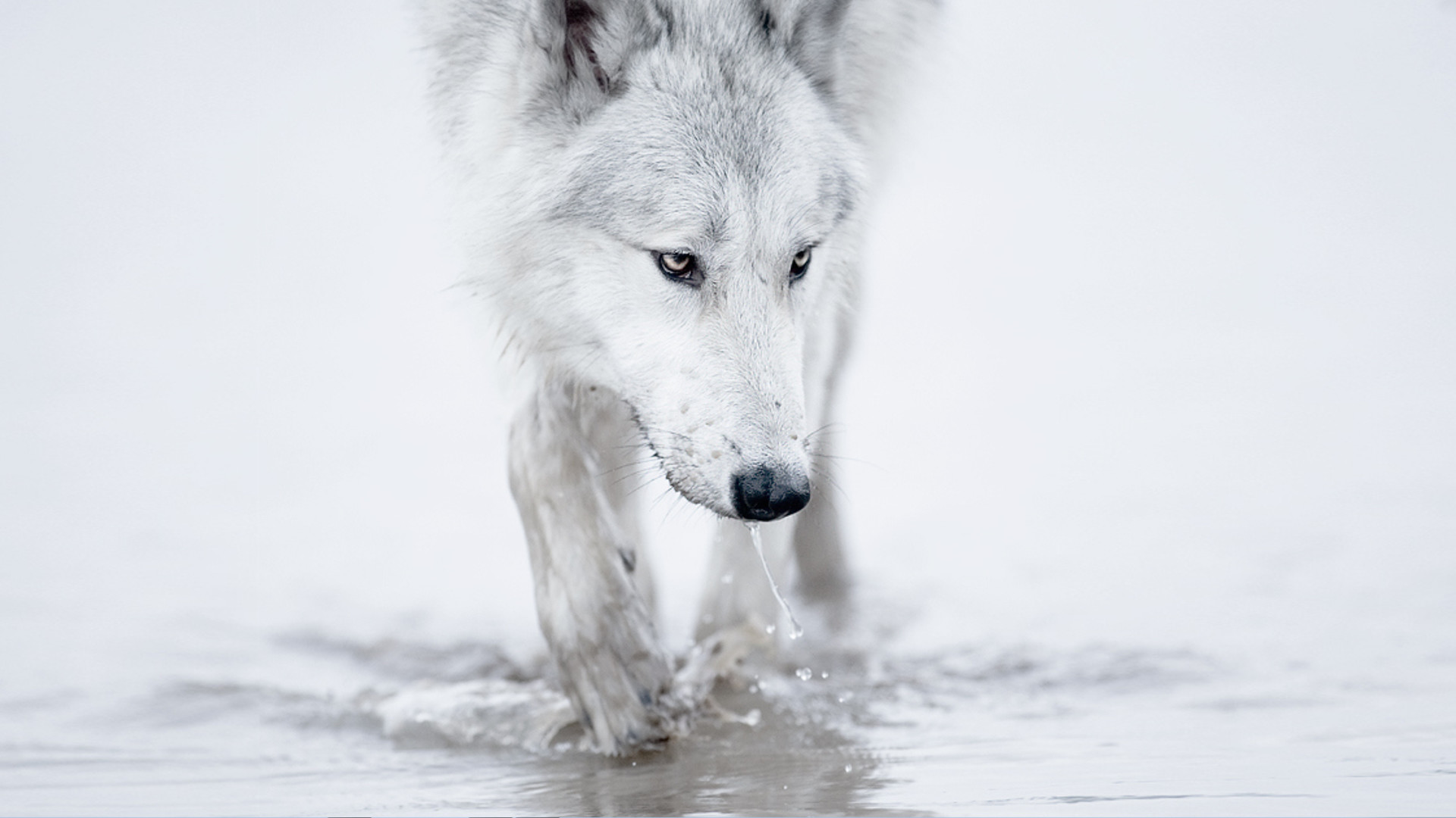 1920x1080 1000+ Images About Wolves On Pinterest | Gray Wolf, Wallpapers .