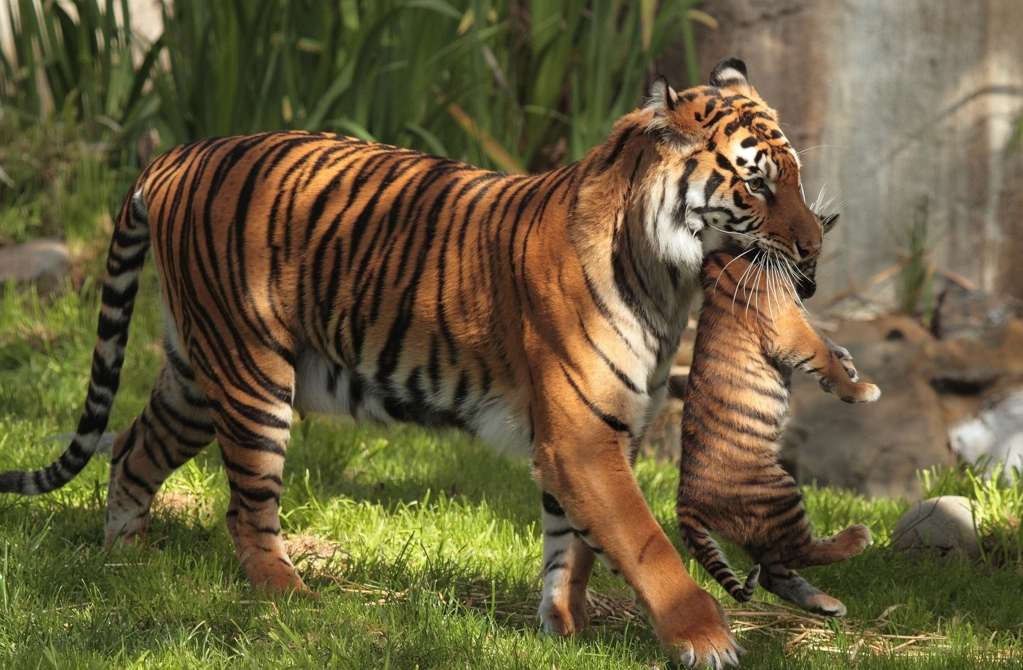 Siberian tiger wallpapers 59 images - Tiger hd wallpaper for pc ...